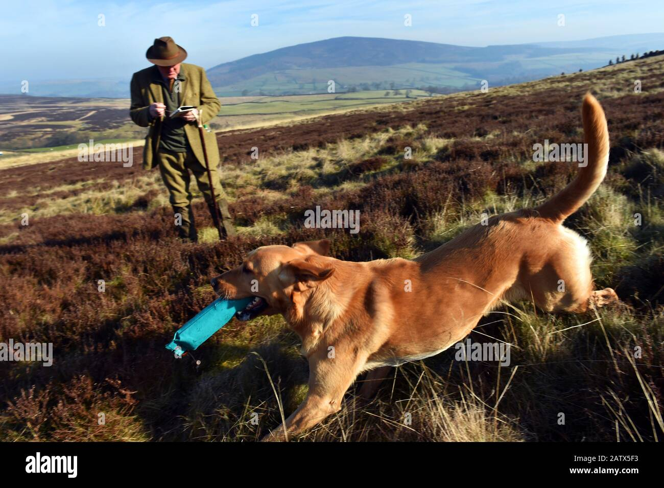 A dog chases his dummy bird during gun dogs training session Barden Moor Yorkshire Dales UK Stock Photo