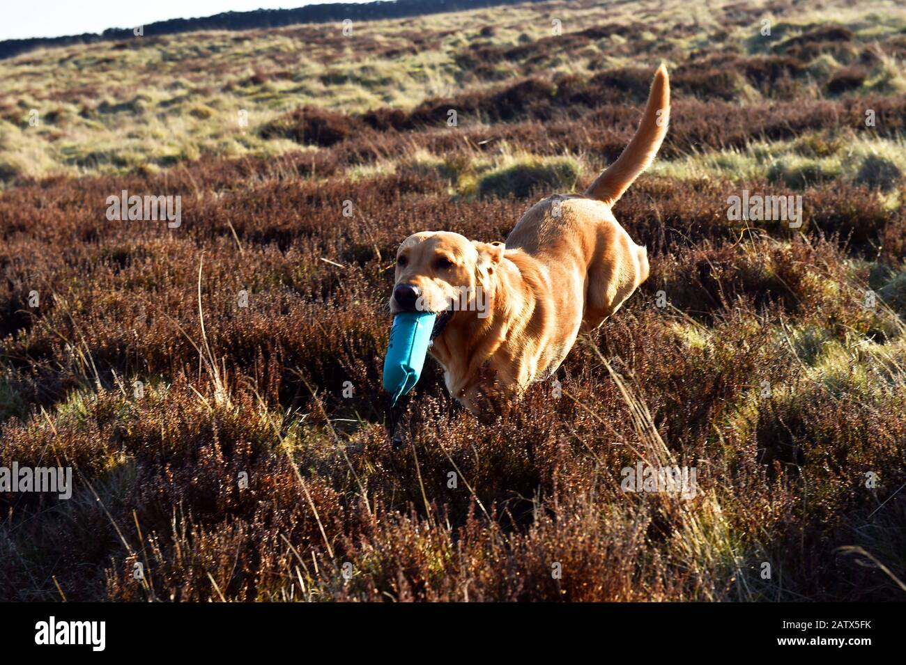 A gun dog runs with his dummy bird during a gun dogs training session Barden Moor Yorkshire Dales UK Stock Photo