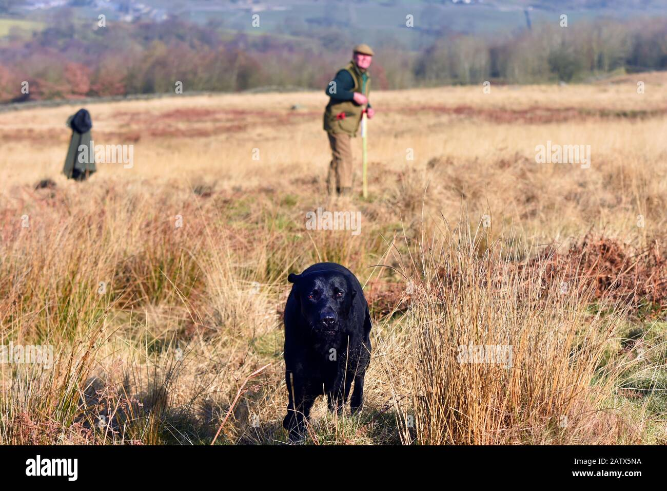 Gun dogs training session Barden Moor Yorkshire Dales UK a gamekeeper trains his dog to fetch a dummy bird. Stock Photo