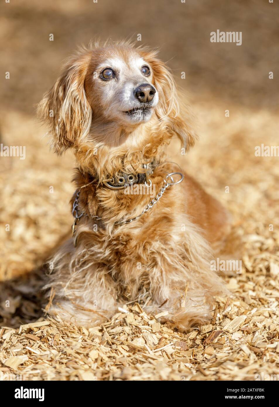 Long-haired Dachshund male Stock Photo