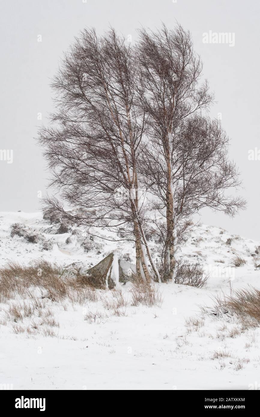 Rannoch Moor in winter - single sole silver birch tree covered in snow - Scotland, UK Stock Photo