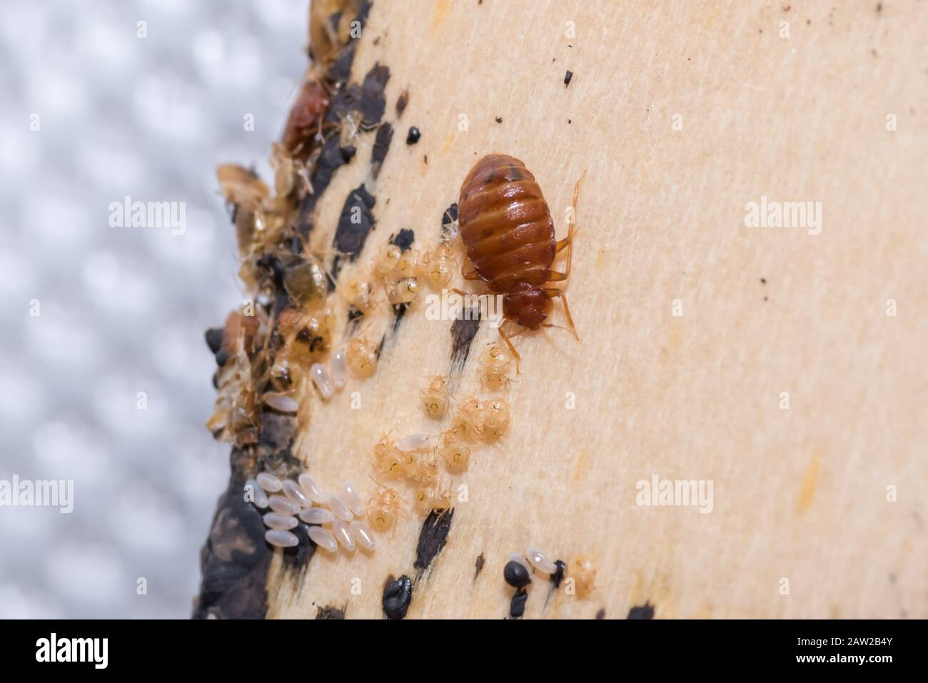 Bed Bugs Bed Bug Eggs And Larva Found On A Timber Bed Slate Stock Photo Alamy