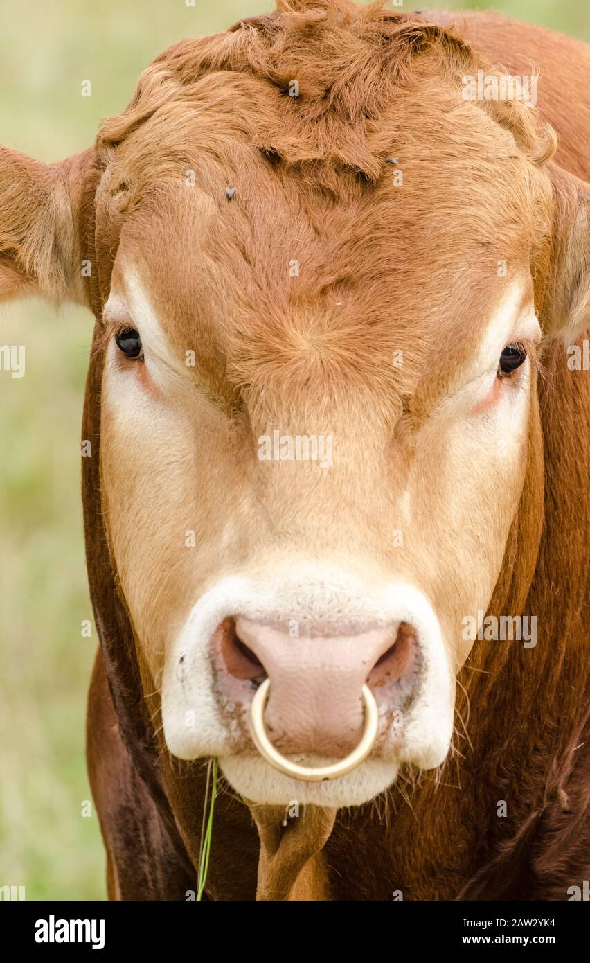 Bull With Golden Nose Ring Domestic Cattle Livestock Bos Taurus