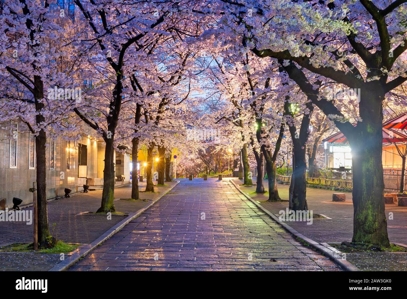 Gion Shirakawa, Kyoto, Japan during cherry blossom season at twilight. Stock Photo