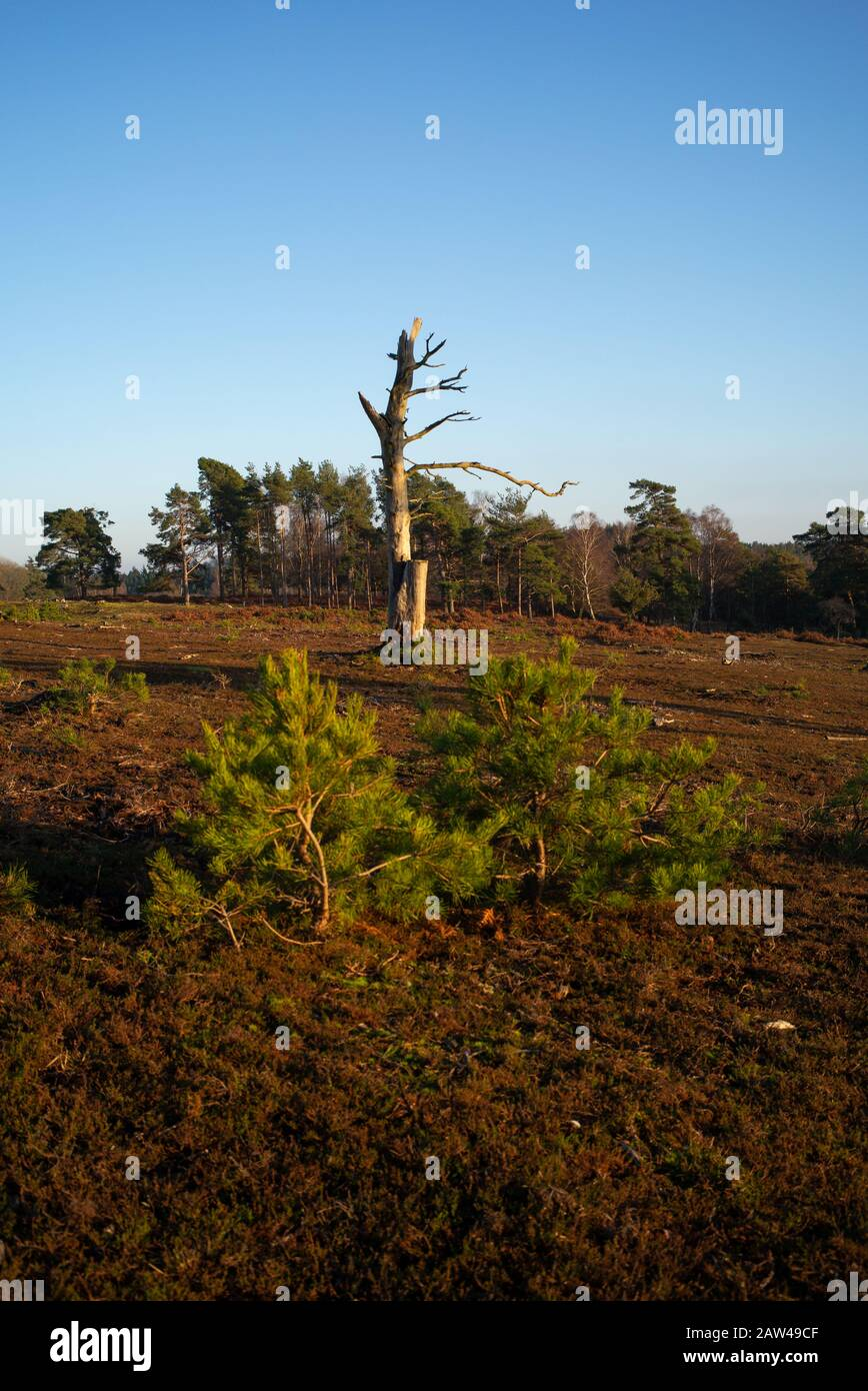 Forest management in the New Forest Hampshire England. Areas have been cleared to create heathland and control conifers. Stock Photo