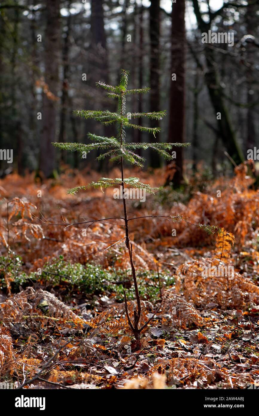 New trees grow in The New forest through good forest management helping biodiversity and assisting the offset of Carbon problem and the global warming Stock Photo