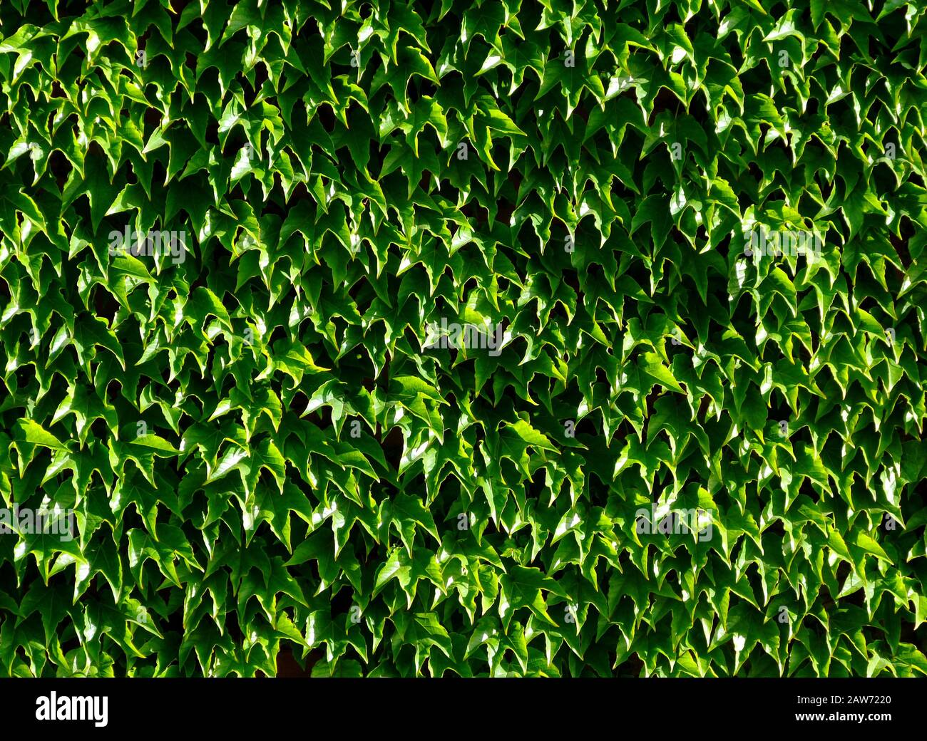 dense green Boston Ivy waxy leaves with dense foliage in bright light. white reflections. background image. freshness and outdoors concept. nature. Stock Photo