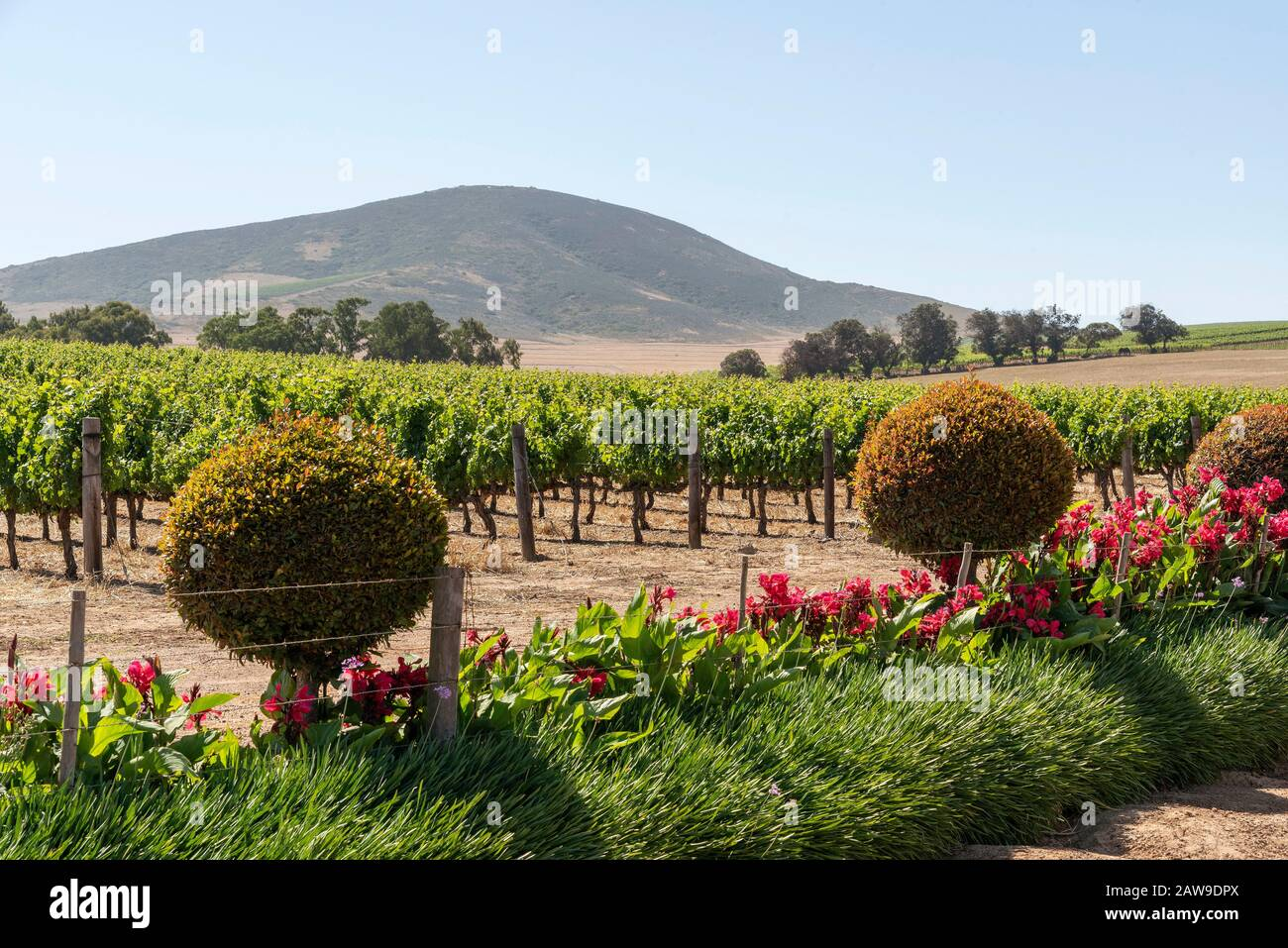Durbanville, Cape Town, South Africa. Dec 2019.  Grapes on vines in the Durbanville wine growing region close to Cape Town, South Africa Stock Photo