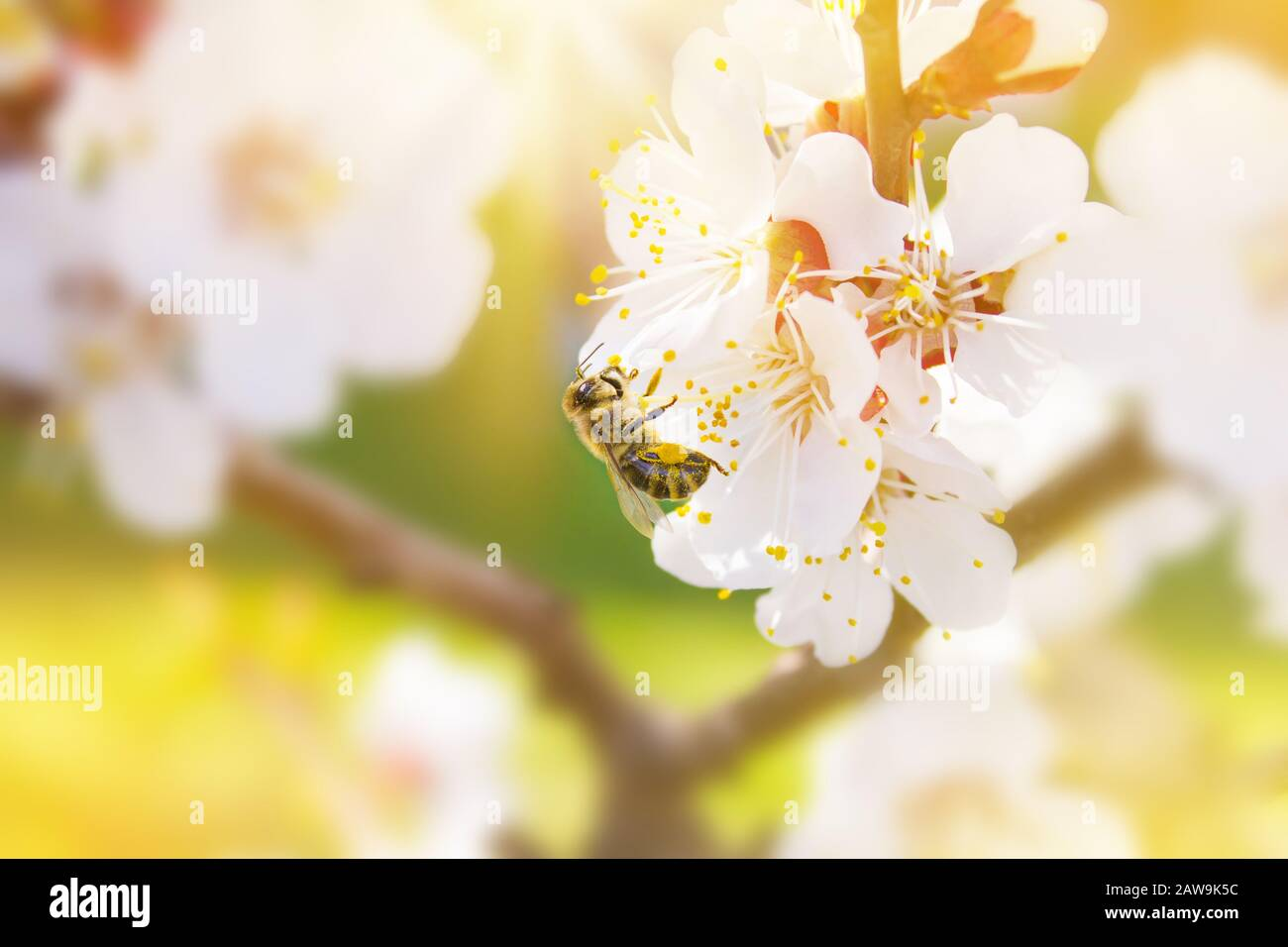 Spring. Bee collects nectar (pollen) from the white flowers of a flowering cherry on a  blurred background of nature. Lights of a sun. Blurred space f Stock Photo