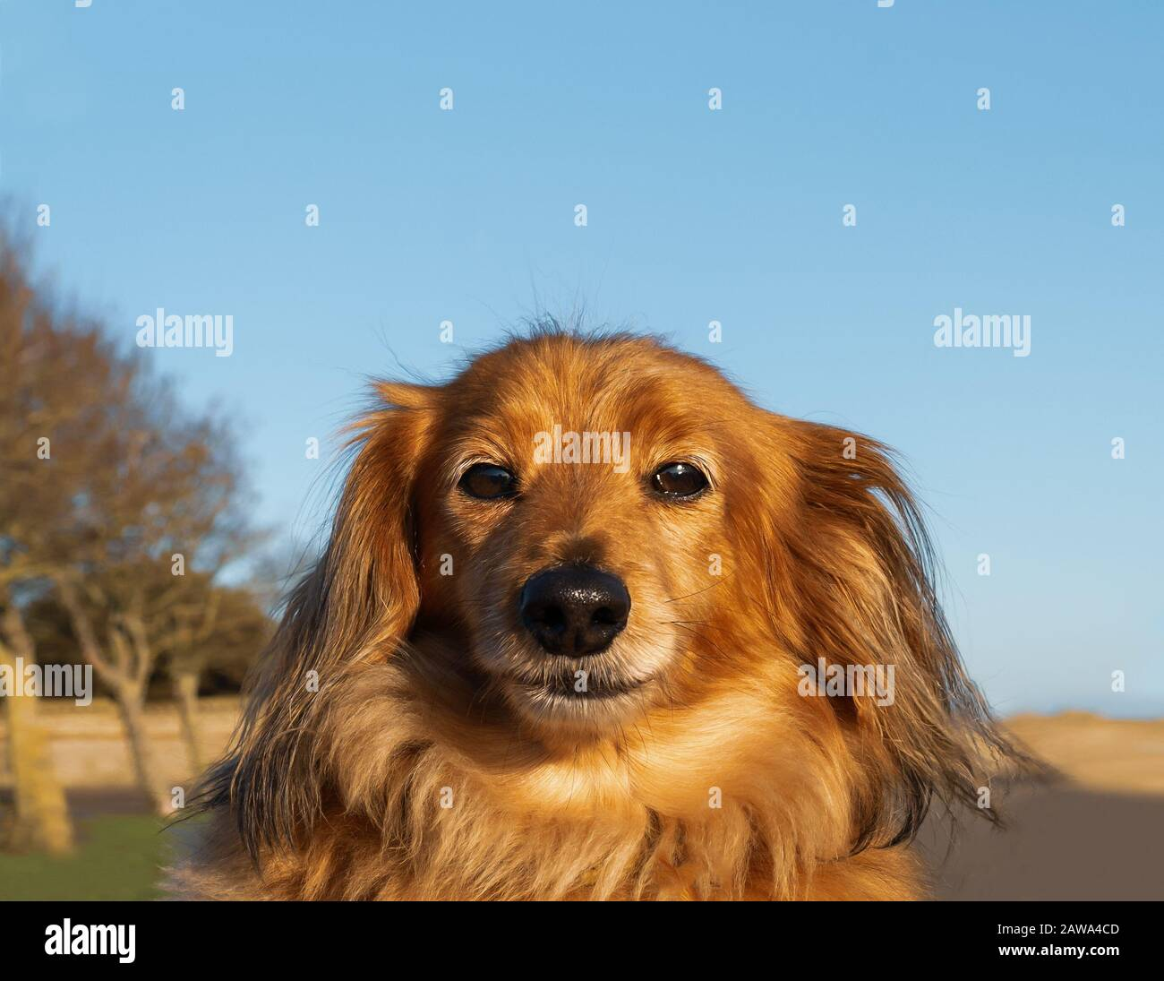 Portrait of a cute long haired miniature dachshund outside against