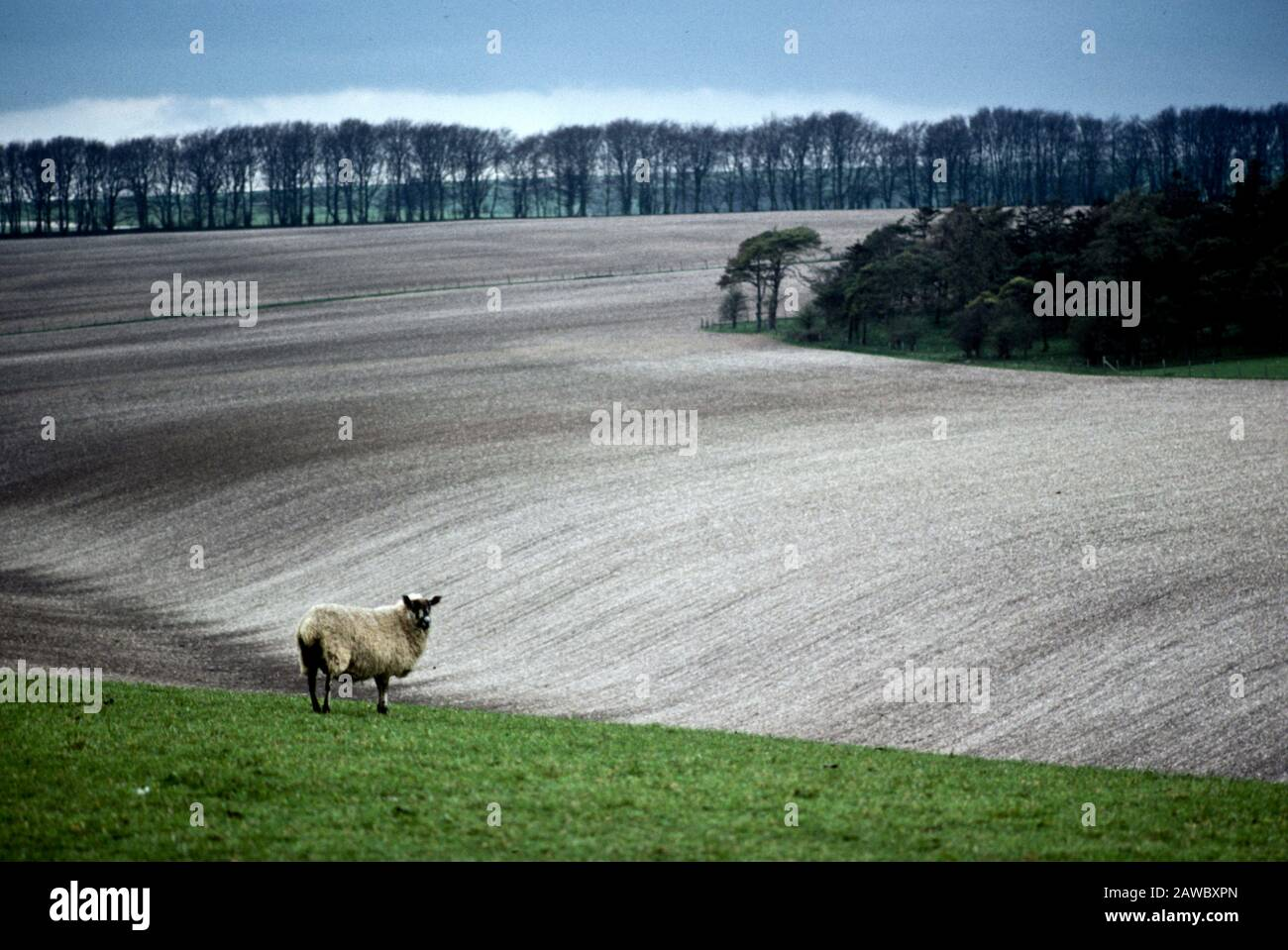 A lone sheep at the rolling landscape on the Salisbury Plain near Stonehenge in England, UK Stock Photo