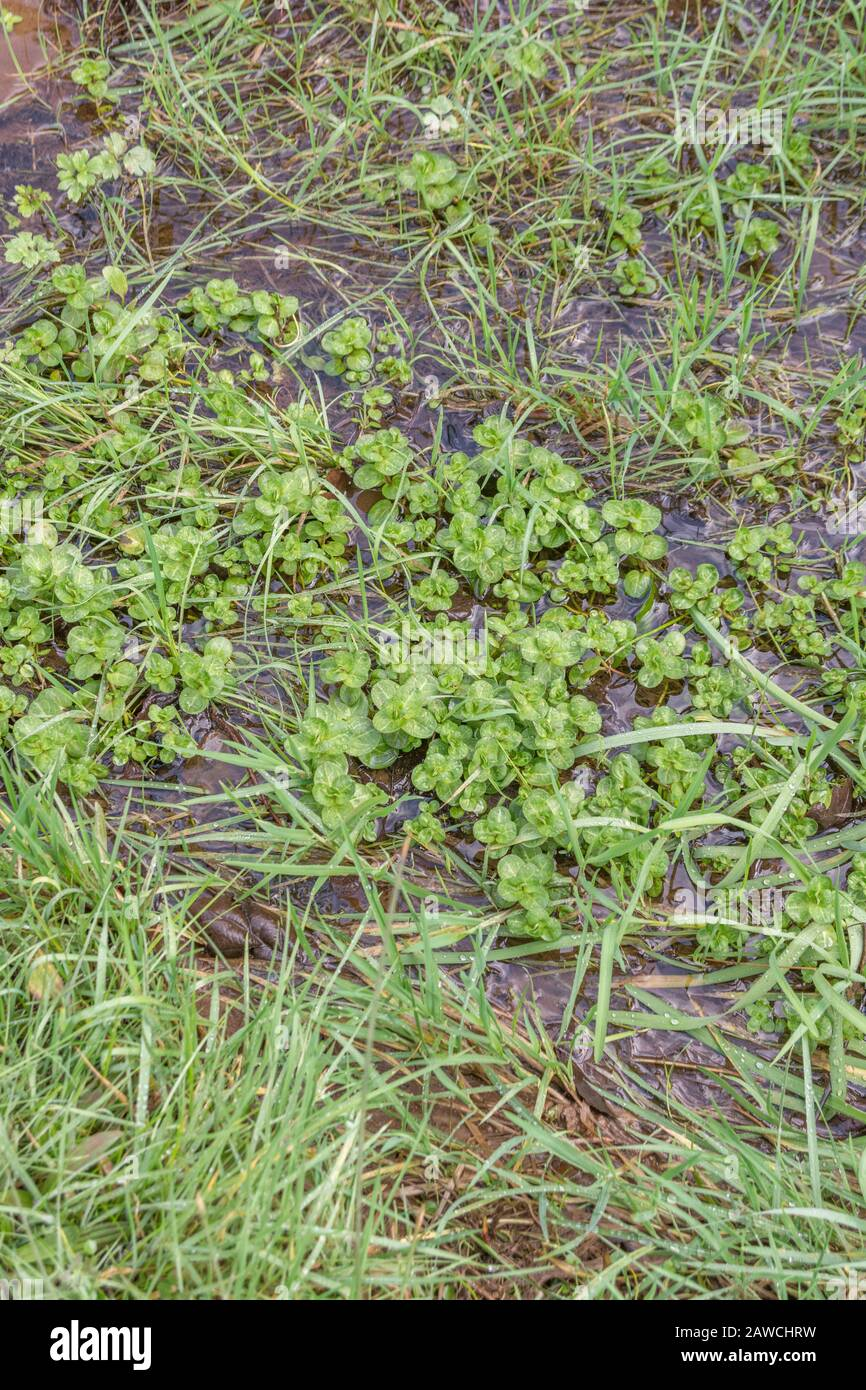 Brooklime / Veronica beccabunga foliage growing in freshwater drainage ditch. Foraged & survival food containing Vitamin C. Once used to cure scurvy. Stock Photo