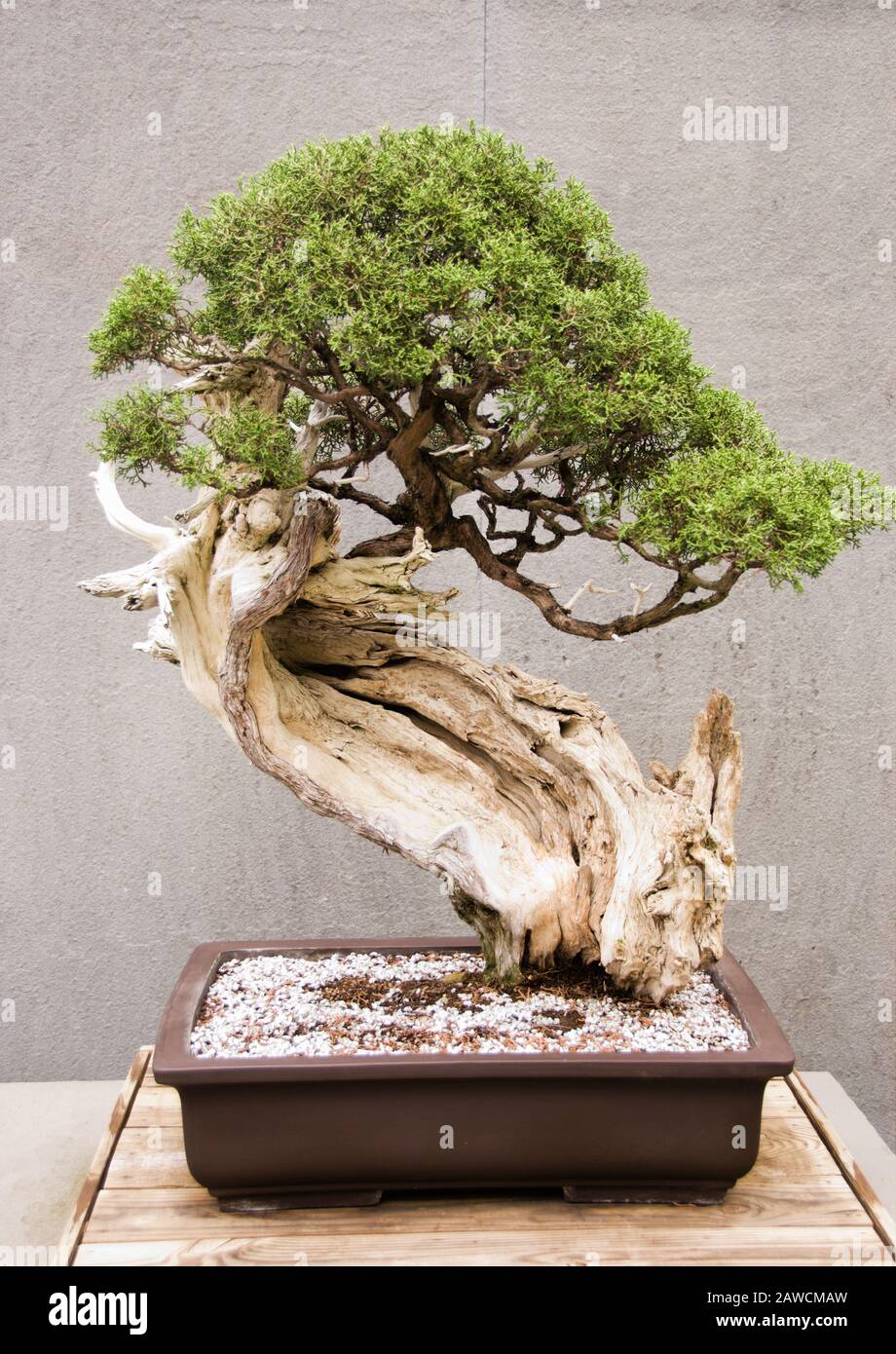 Miniature Mature California Juniper Bonsai Tree Growing In A Potted Container Stock Photo Alamy