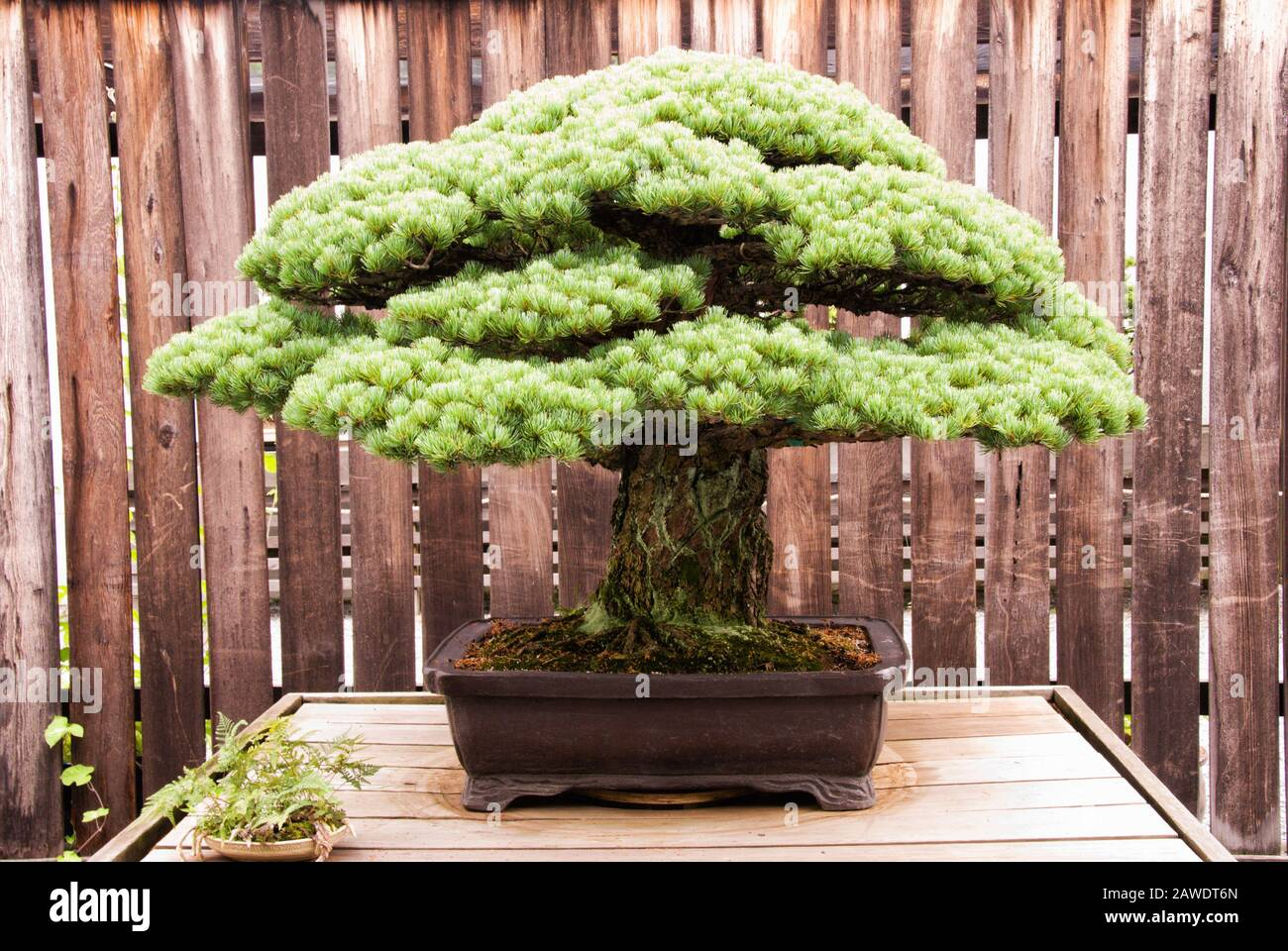 Miniature matured Japanese White Pine bonsai tree growing in a potted container. Aka Pinus Parviflora. Stock Photo