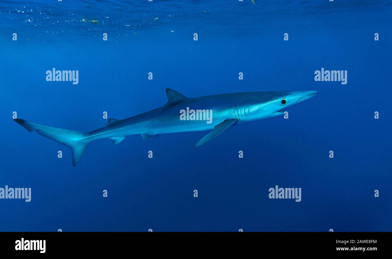 Blue shark, Prionace glauca. Oceanic, but may be found close inshore where the continental shelf is narrow. Feeds on fishes (herring, silver Stock Photo