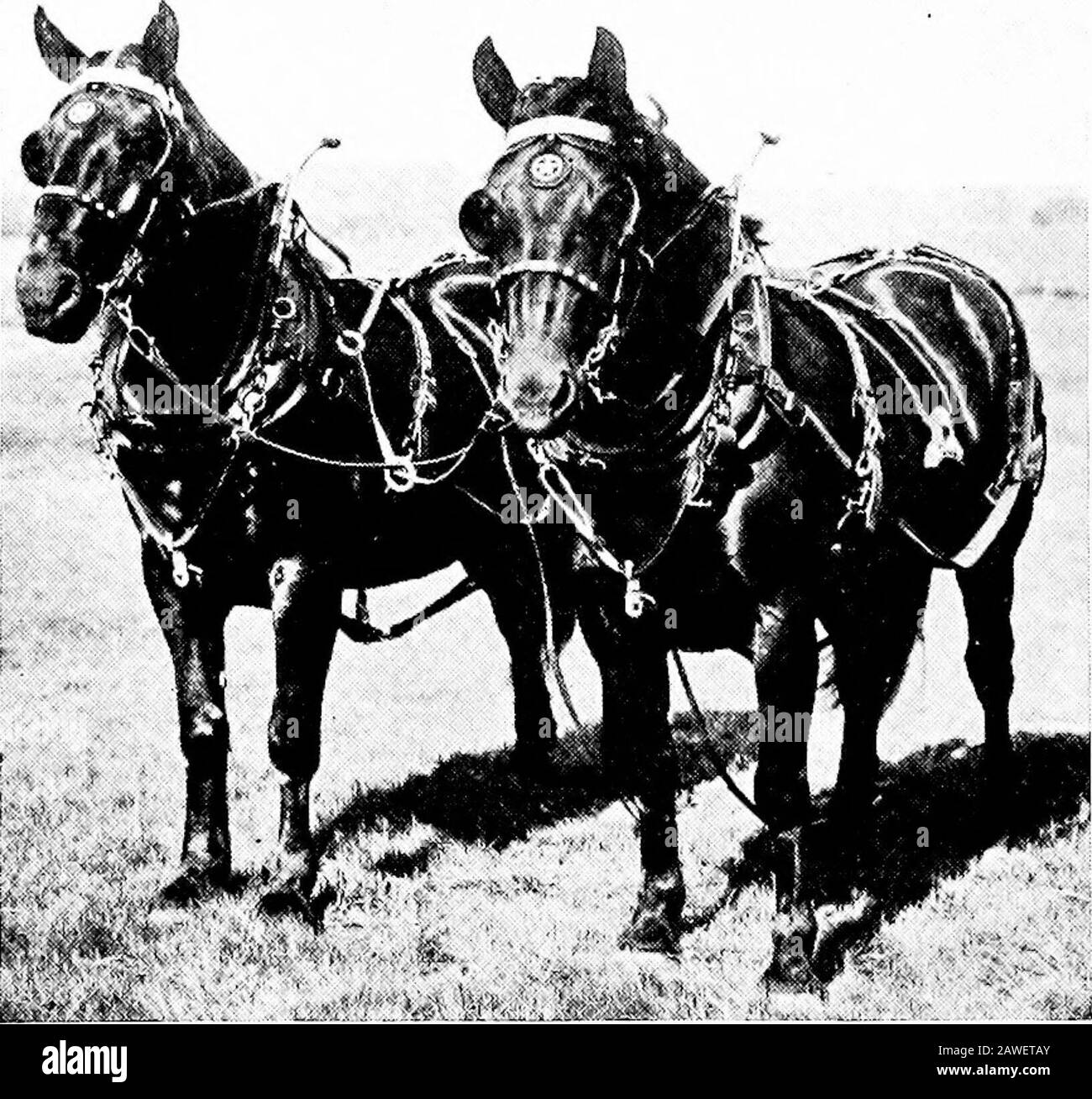 Productive Farming Well Built For Heavy Teaming The Leading Breedsof The Draft Group Are Clydesdale Percheron English Shire Suffolk Punch And Belgian Coach Horses The Heavy Carriage Or Coach Breedsinclude The Large Active