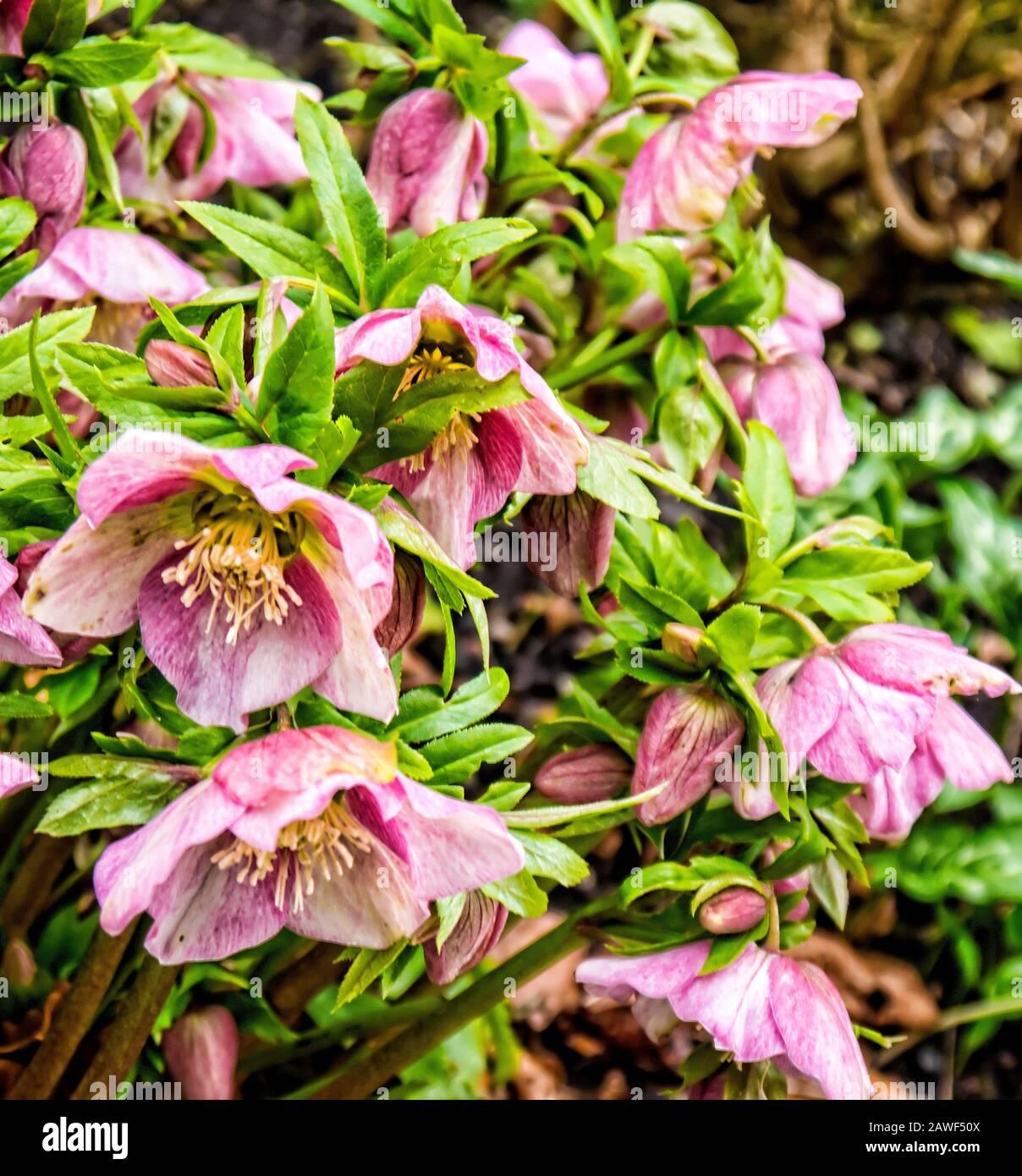 Hellebore Flowers Helleborus Orientalis Known As Christmas Or