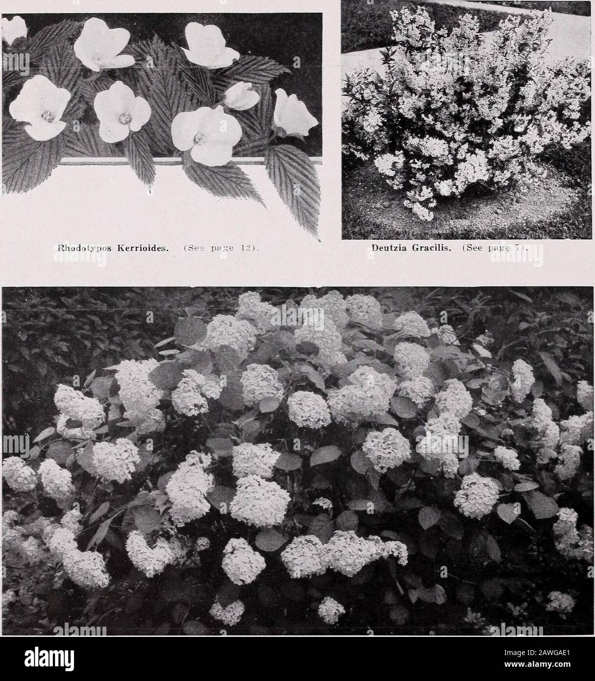 CMHobbs & Sons . ( See page 5 i.. Hydrangea arborescens sterilis—Hills of Snow. (See page 9). C. M. HOBBS & SONS, BRIDGEPORT, INDIANA 17 Stock Photo