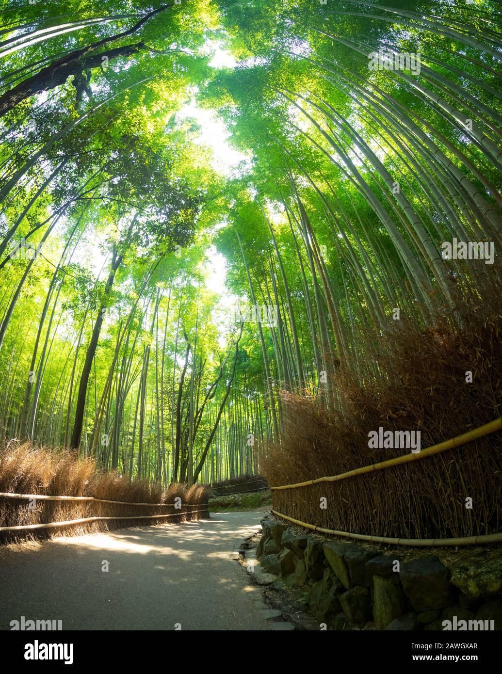 A fisheye, wide angle view of the Sagano Bamboo Forest (Arashiyama Bamboo Grove), a popular attraction in Arashiyama, Kyoto, Japan. Stock Photo
