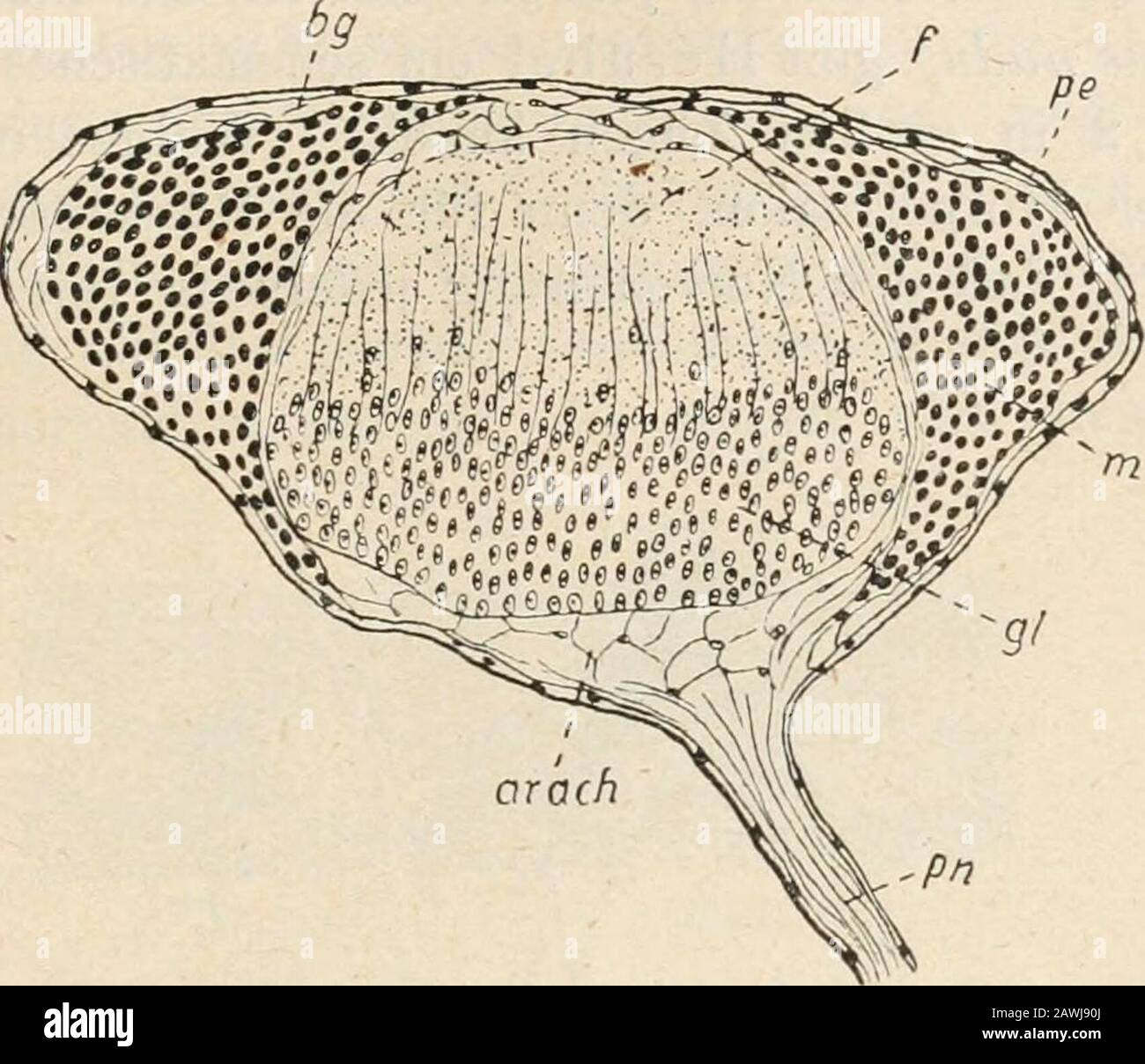 Zoologischer Anzeiger . ngeine Muscularis besitzen, eine Gewebsschicht, die wir sonst nicht ge-wohnt sind in Verbindung mit Nervenzügen anzutreffen. Am leichtesten gewinnen wir Klarheit über die Zusammensetzungdes ventralen Nervenstranges, wenn wir einen Querschnitt ansehen.In der einstülpbaren Rüsselpartie ist derselbe länglich-oval (s. Fig. 1).Von außen her treffen wir folgende Schichten an: das Peritoneal-epithel (Fig. 1 pe), eine zarte Bindegewebsschicht [bg], zwei seitlicheLängsmuskelmassen (m), eine grobmaschige Bindegewebsschicht zuvergleichen der Arachnoidea der Wirbeltiere [arach.) un Stock Photo