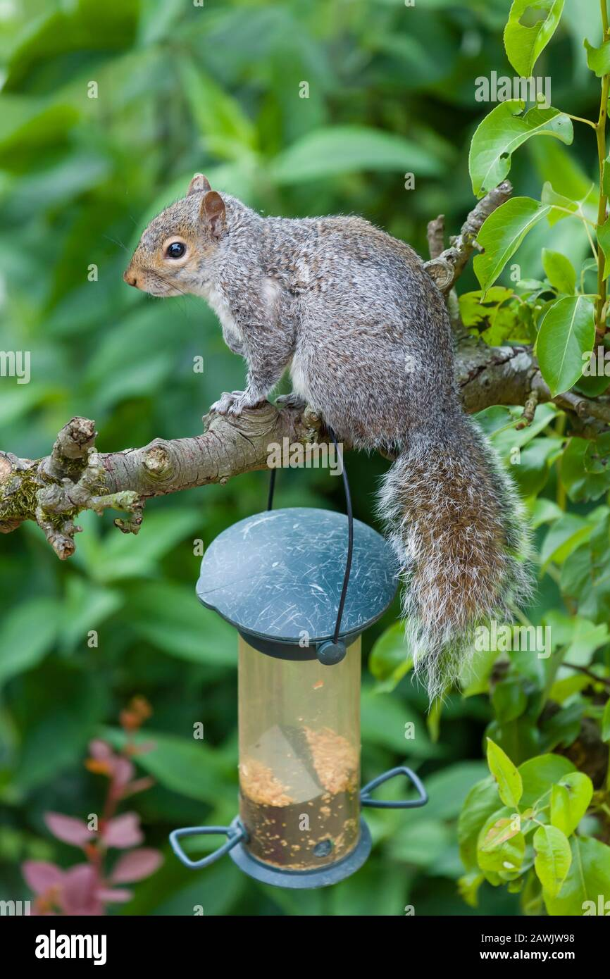 Grey squirrel sitting on a tree branch in a garden in England, UK Stock Photo