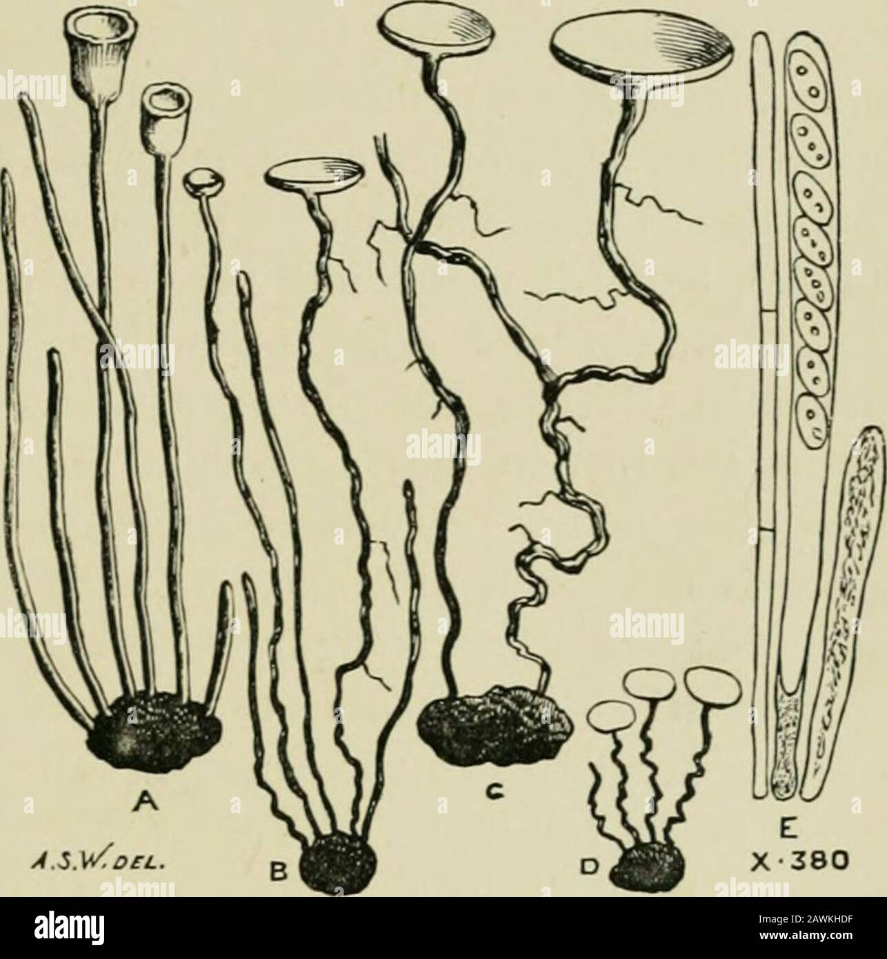 Introduction to the study of fungi : their organography, classification, and distribution for the use of collectors . 1 Grevillea, Dec. 1892, p. 37.. Fig. 3. — Sclerotia germinating and producing Pezizae,A to D. Ascus and sporidia, E. Gard. Chron. l6 INTRODUCTION TO THE STUDY OF FUNGI We have biieHy directed attention to the ordinary develop-ments of mycelium, whether filamentous or sclerotioid, butthere are still one or two special modifications which mustobtain a passing reference. Of these the mycelium of theUredineae is deserving of mention, being formed within thetissues of living plants, Stock Photo