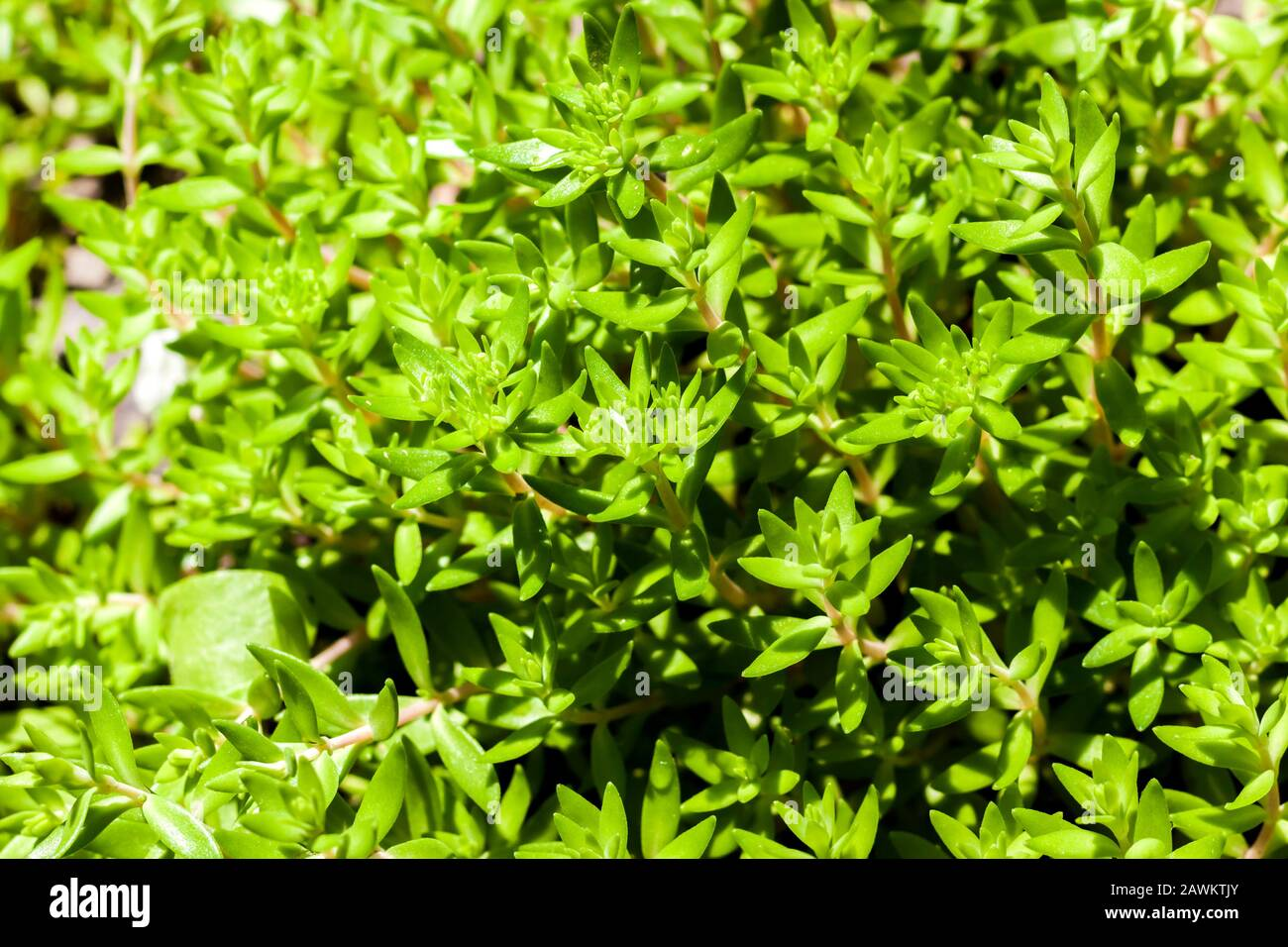 Sedum Acre 50 Seeds,goldmoss stonecrop mossy stonecrop beautiful from early spring to late autumn