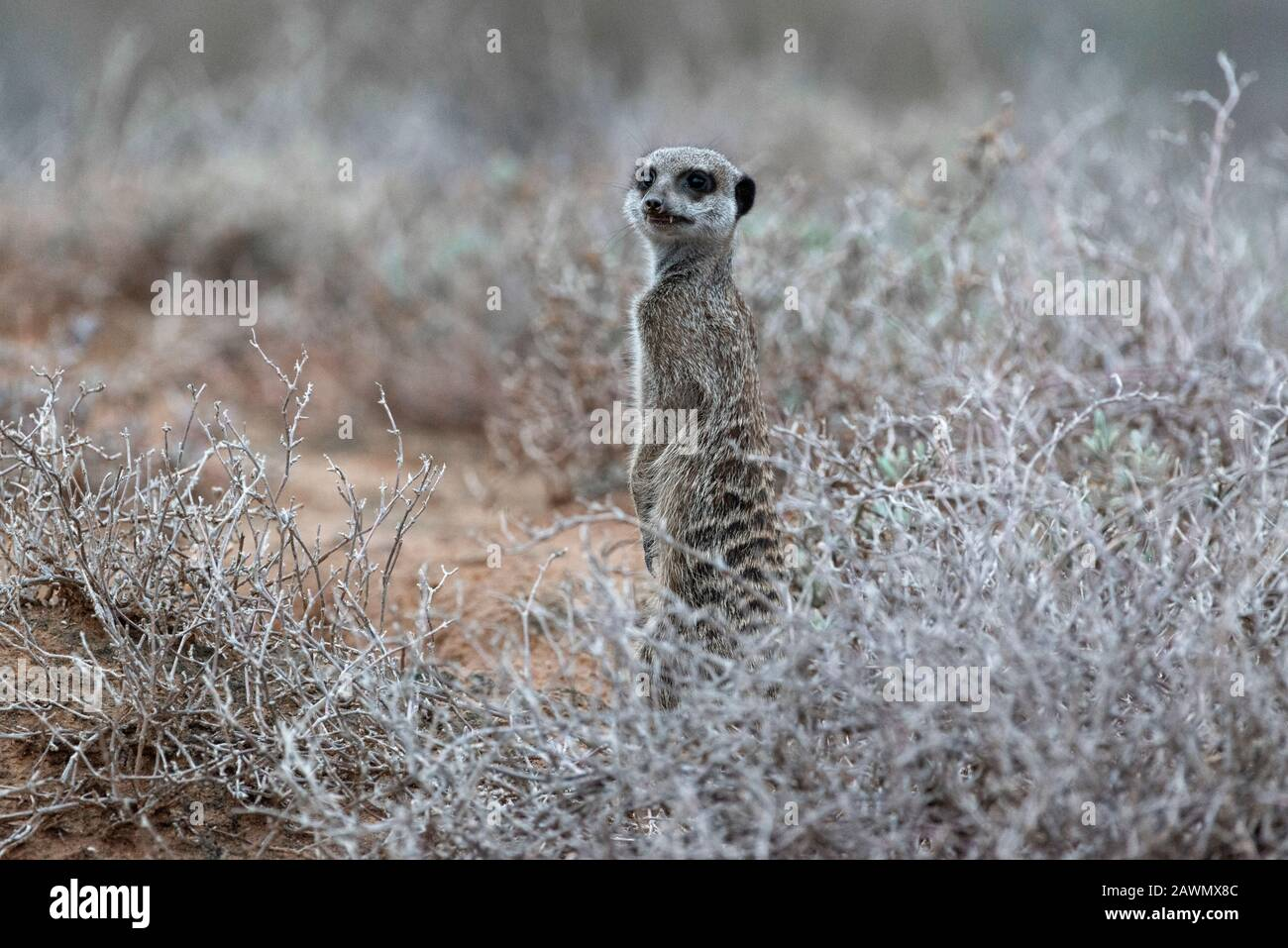 Meerkat standing at dawn on a chilly morning deciding whether the mob should be allowed up from the burrows. Oudtshoorn, Little Karoo,South Africa Stock Photo