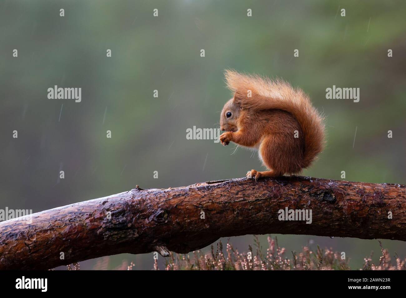 Red Squirrel Sciurus vulgaris perched on a log eating a hazel nut in damp and overcast weather in Scotland U.K. Stock Photo