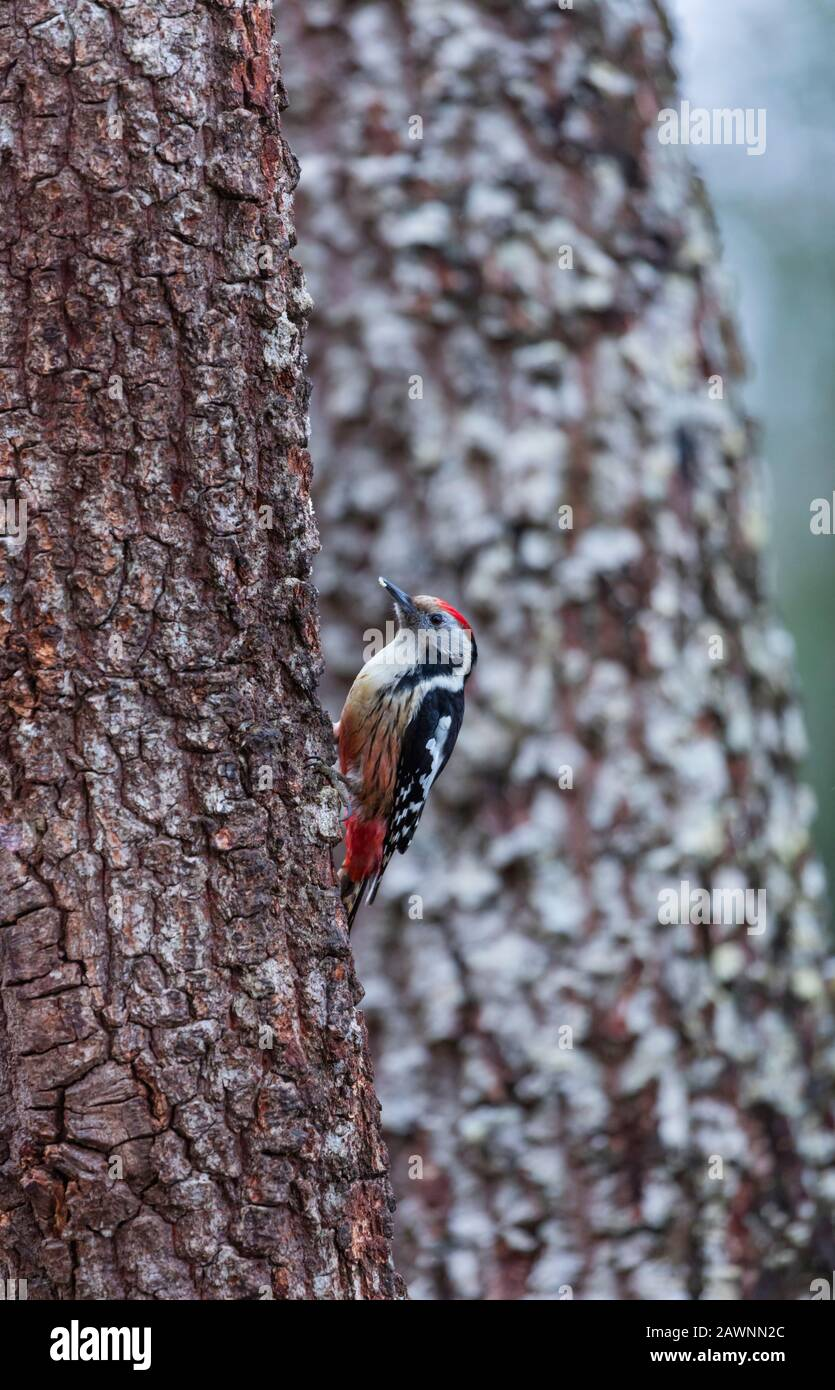 PICO MEDIANO - Middle spotted woodpecker (Dendrocoptes medius) Stock Photo