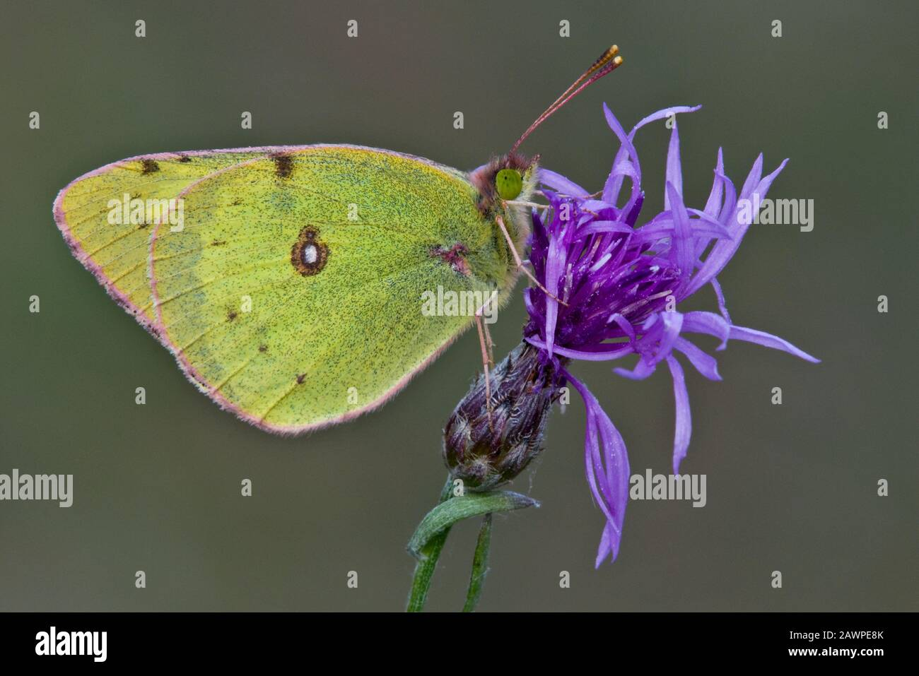 Clouded Sulphur Butterfly (Colias philodice) on Spotted Knapweed (Centaurea maculosa), E USA, by Skip Moody/Dembinsky Photo Assoc Stock Photo