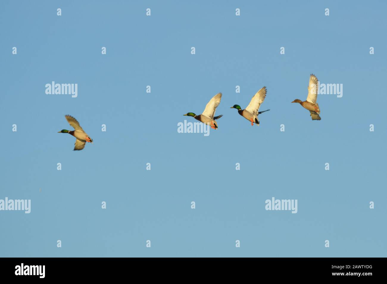 Mallard duck flock drakes male flying Stock Photo