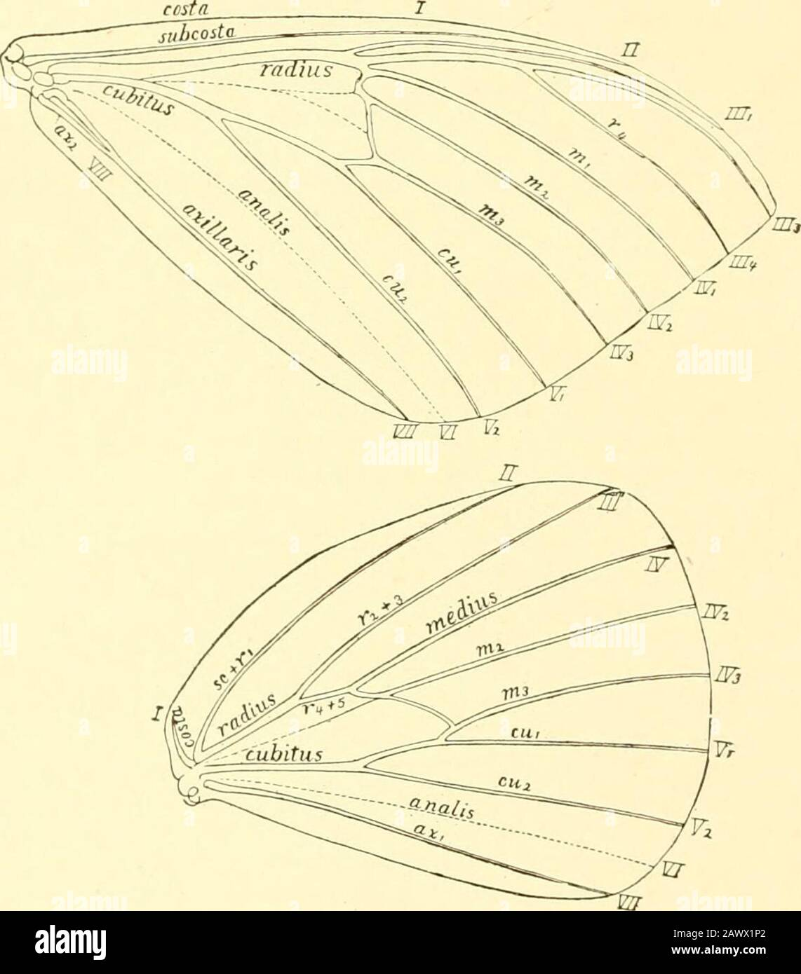 Monograph of the bombycine moths of North America, including their transformations and origin of the larval markings and armature . - lepidopterists.. Fip. h. NonK^iioliittirc jinil iiiiinlnTinff of tlif veins of the f. 280. Dec, 1901. 7un/)t7i/ Character)!.—Head small, but largeithan in the Saturniidw, not prominent; in Adelo-cephala, netirly concealed from al)ove by the overhanging thorax. Front of the head eitherdistinctly triangular in the most typical forms (Adelocephala, Sv.s.sphinx, Eacles) or very narrow(Arseiuira). or moderately wide, with a vestiture either closely cropped, or shagg Stock Photo