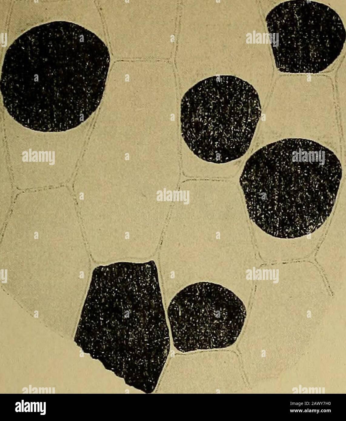 Sitzungsberichte . de ein merkwürdiges Zusammenvorkommenvon Anthochlor und Gerbstoffderivaten, wahrscheinlich Katechu-glukotannoiden, in derselben Zelle bei den gelben Acacia-Bütengezeigt. 262 G. Klein, Studien über das Anthochlor. Figurenerklärung. Fig. 1. Stück eines Filamentes von Acacia rostelltfera. A. Farblose Vakuolen imgelben Zellsaft. Fig. 2. Stück eines Korollblattes von Acacia rostelltfera. Die Gerbstoffvakuolen mitOsmiumsäure schwarz gefärbt. Fig. 3. Stück eines Korollblattes von Acacia falcata. In den GerbstoffvakuolenKörnchen mit Osmiumsäure blau gefärbt. Fig. 4. Stück eines Que Stock Photo
