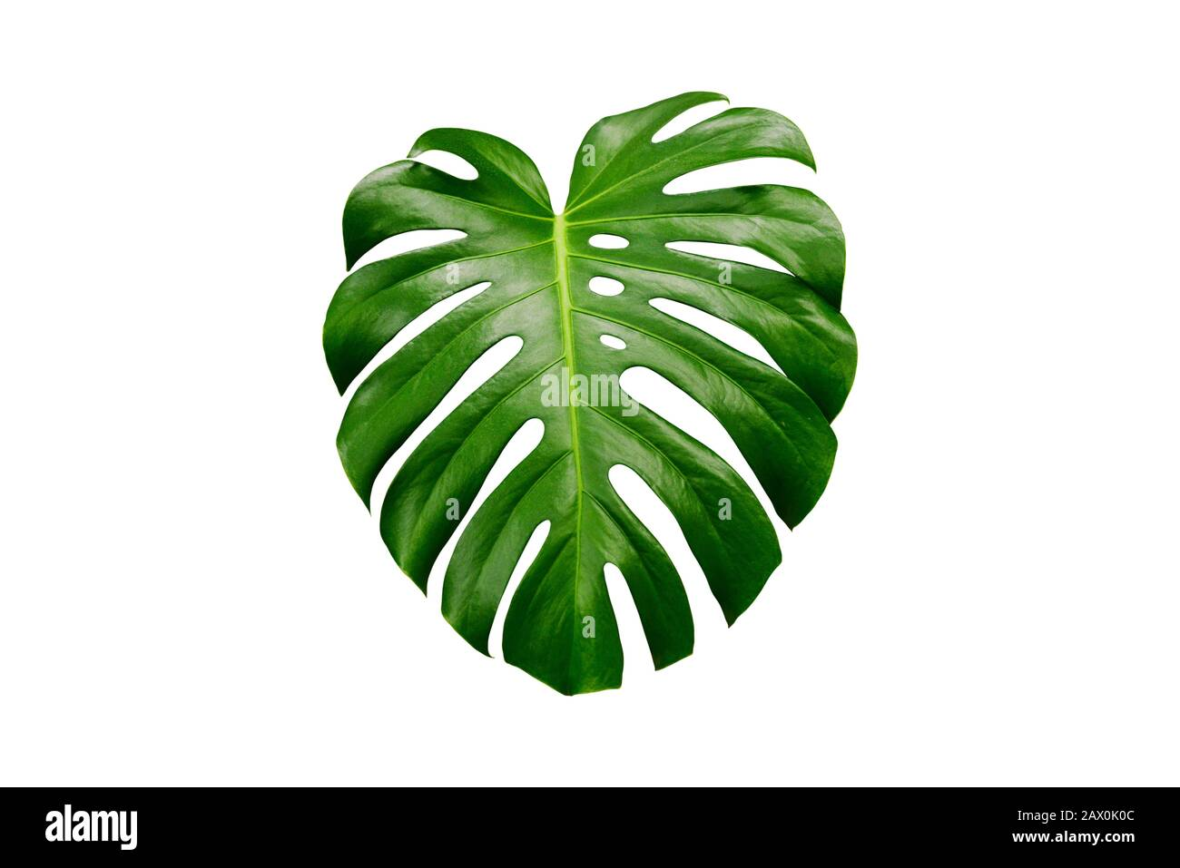 Tropical Leaf Monstera On A White Background A Single Green Leaf Of An Exotic Plant Stock Photo Alamy This post includes a little story on monstera leaf and a hello, friends!! https www alamy com tropical leaf monstera on a white background a single green leaf of an exotic plant image342992956 html
