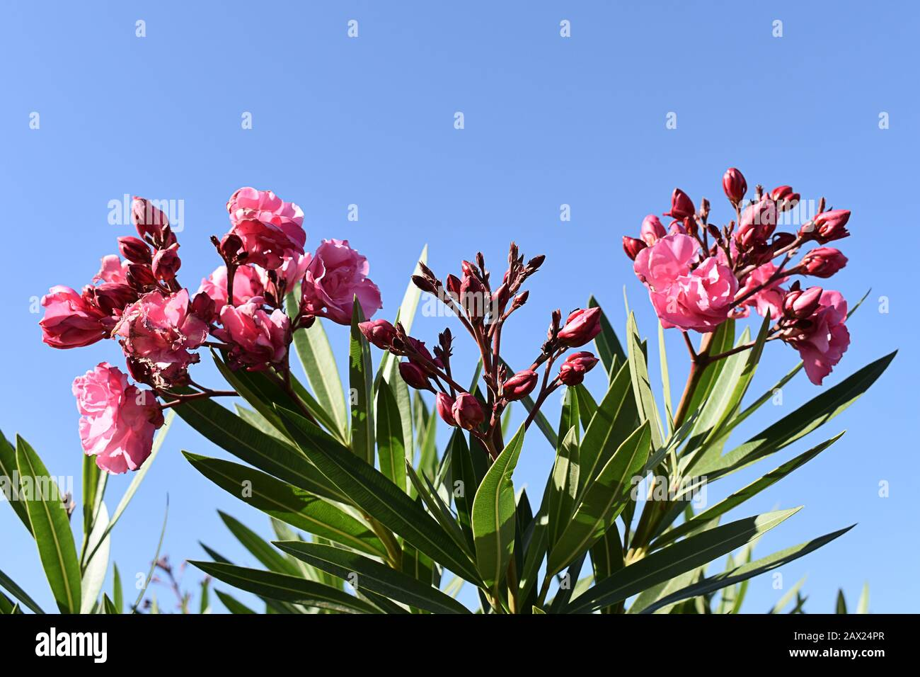 Pink Flowering Oleander Bush Set Against Bright Blue Sky Maspalomas Gran Canaria Canary Islands Stock Photo Alamy