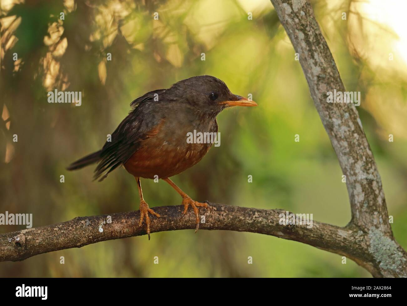 Olive Thrush (Turdus olivaceus) adult perched on branch  Wilderness, South Africa               November Stock Photo