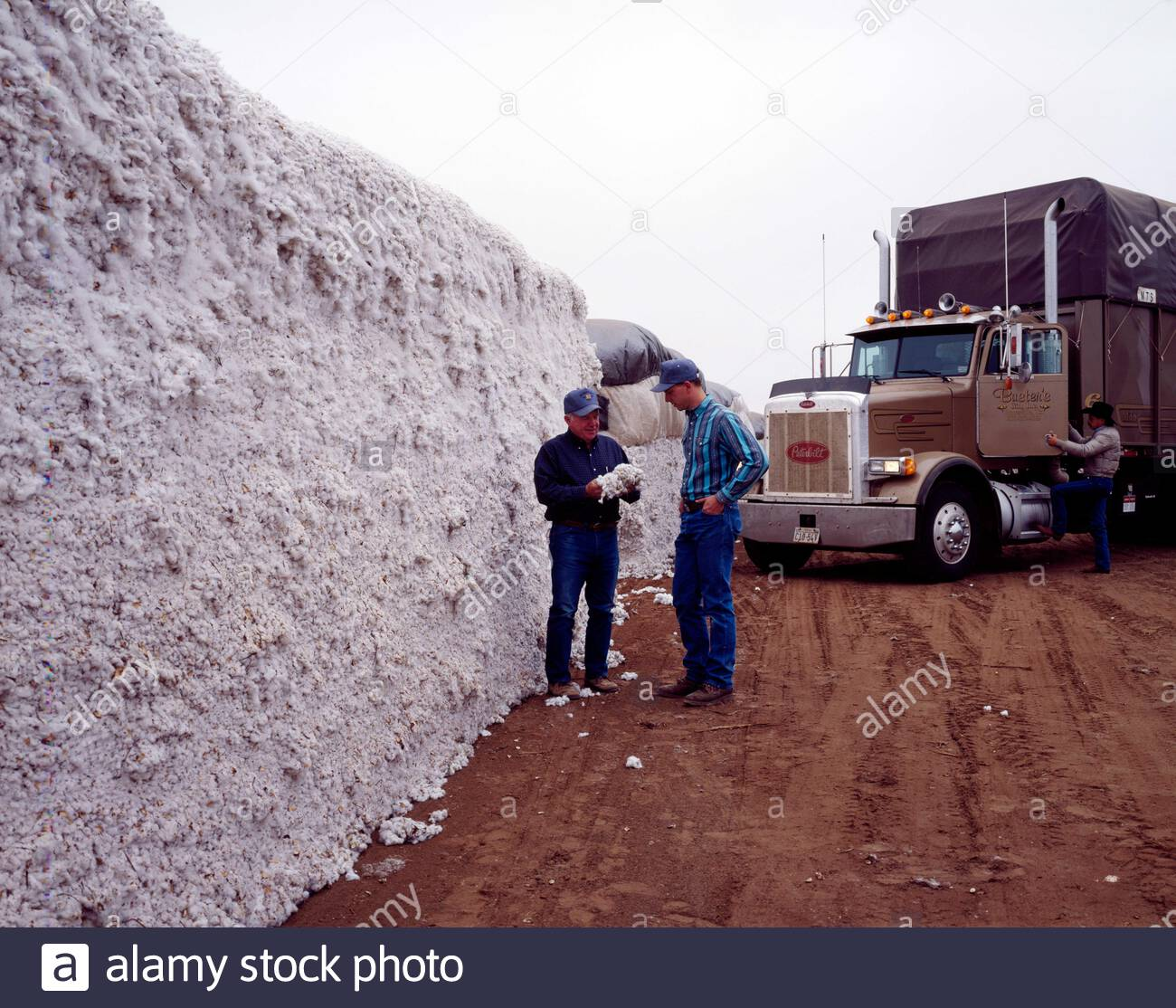 english title a huge allotment of cotton gets a quick inspection at buster s cotton gin near lubbock in the texas panhandle physical description 1 transparency color 4 x 5 in alamy