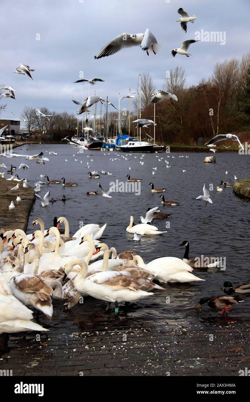 Feeding the birds on the Sankey (St Helens) Canal, Spike Island, Widnes, Cheshire, UK Stock Photo