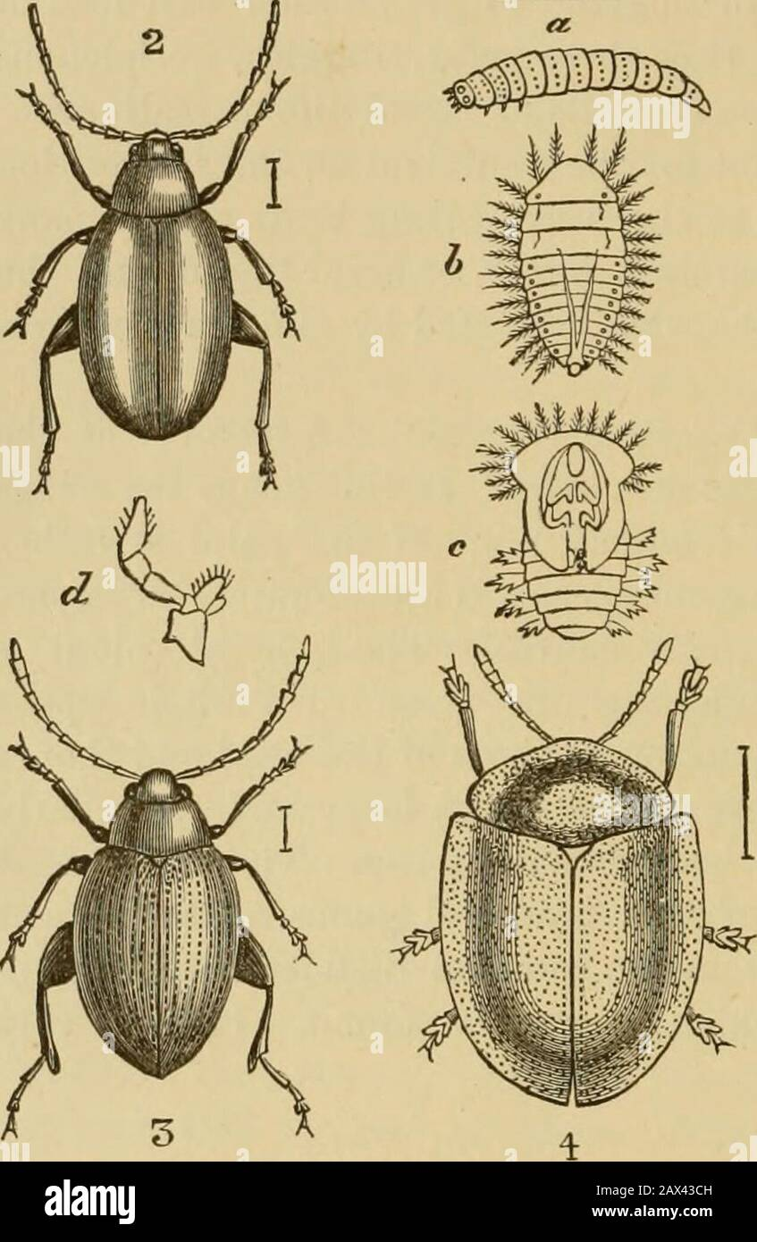Insects at home; being a popular account of insects, their structure, habits and transformations . a pinnata), upon which it can be foujid. It is a verycommon insect. We will take one more example of this family, namely, theinsect which is represented on Woodcut XXIII. Fig. 1, andis known to entomologists by the name of Prasocuris [orHelodes] beccabungce. In this genus the body is rather elon-gated, the wings are developed, and the thorax is squared.This beautiful little insect is found on the plant sometimescalled the Brooklime, or Short-leaved Water Speedwell ( Vero-nica beccabunga), that is Stock Photo