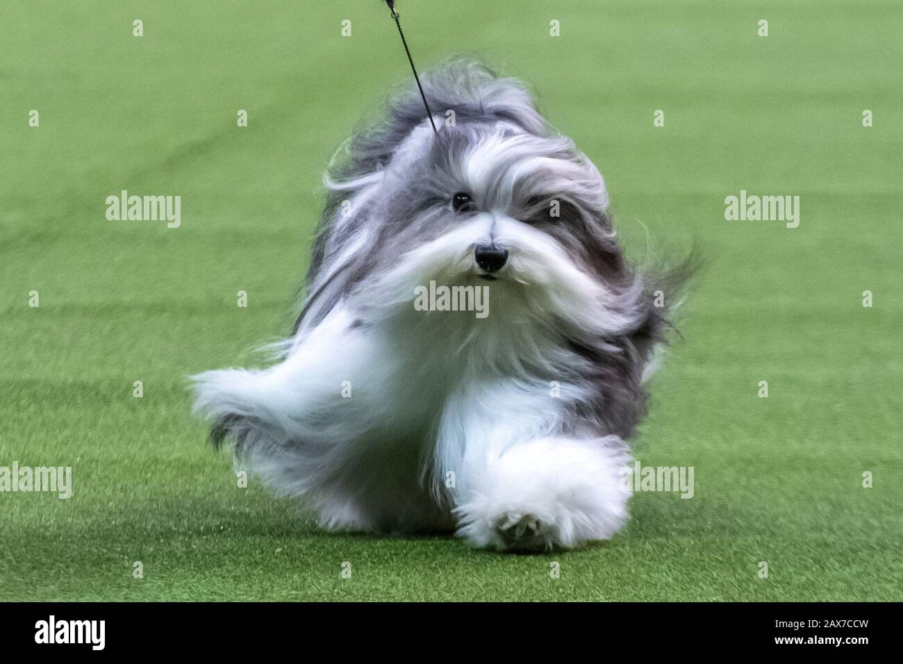 """New York, USA. 10th Feb, 2020. """"Bono"""" the Havanese competes to win the Toy group category at the 144th Westminster Kennel Club Dog show in New York city's Madison Square Garden.  Bono's formal competition name is Oeste's In The Name Of Love.  Credit: Enrique Shore/Alamy Live News Stock Photo"""