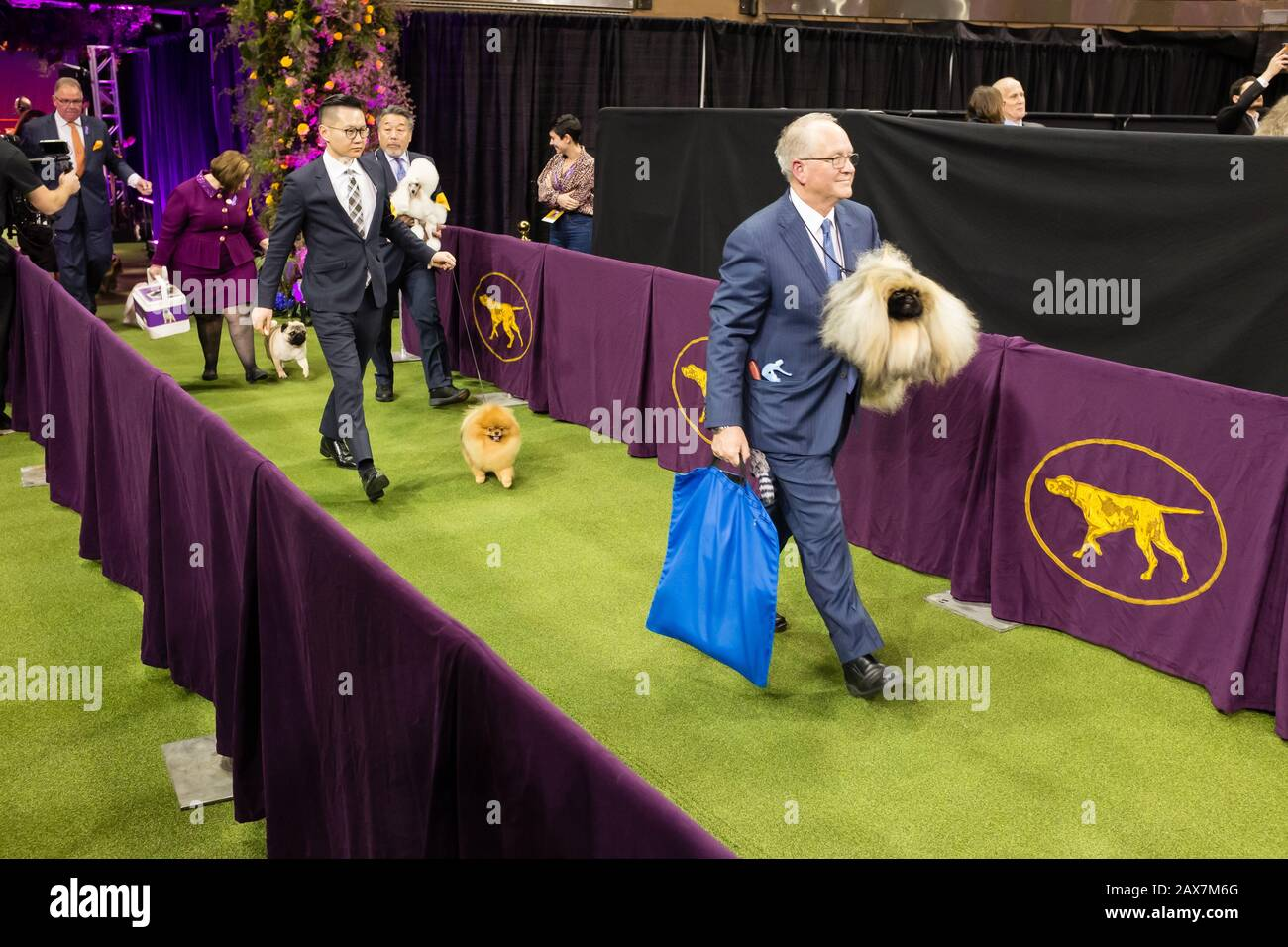 New York, NY, USA. 10th Feb, 2020. The toy group enters the show ring at the 144th Westminster Kennel Club Dog show at New York's Madison Square Garden. Credit: Ed Lefkowicz/Alamy Live News Stock Photo