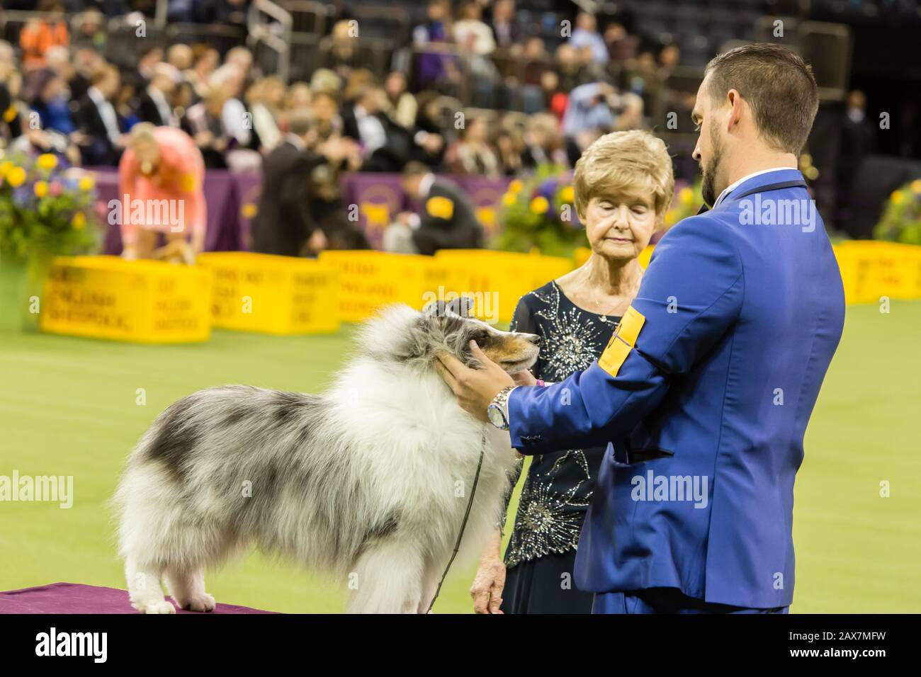 New York, NY, USA. 10th Feb, 2020. Conrad, a Shetland sheepdog, placed first in the herding group judging at the 144th Westminster Kennel Club Dog show at New York's Madison Square Garden. Credit: Ed Lefkowicz/Alamy Live News Stock Photo