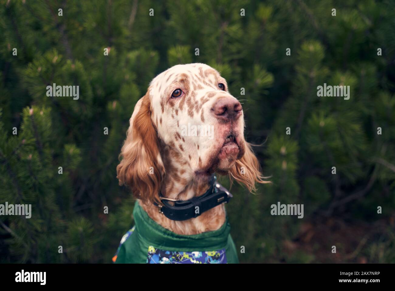 brown dog with spots on muzzle hanging curly ears Stock Photo