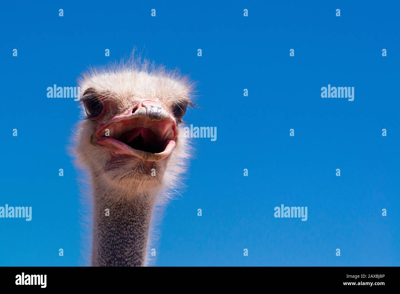 Close-up of ostrich head with its beak open - Oudtshoorn, Western Cape Province, South Africa Stock Photo