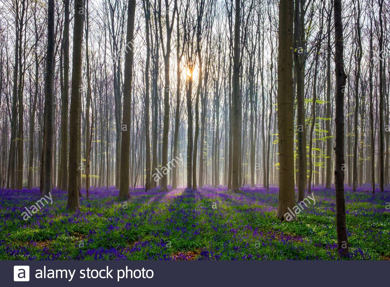 Belgium, Vlaanderen (Flanders), Halle. Bluebell flowers (Hyacinthoides non-scripta) carpet hardwood beech forest in early spring in the Hallerbos fore Stock Photo