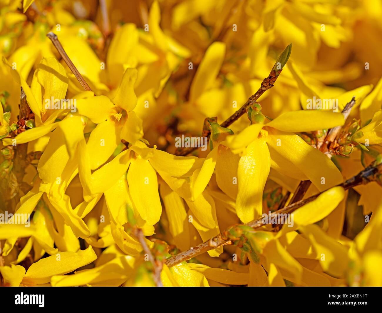 Flowering forsythia in spring Stock Photo