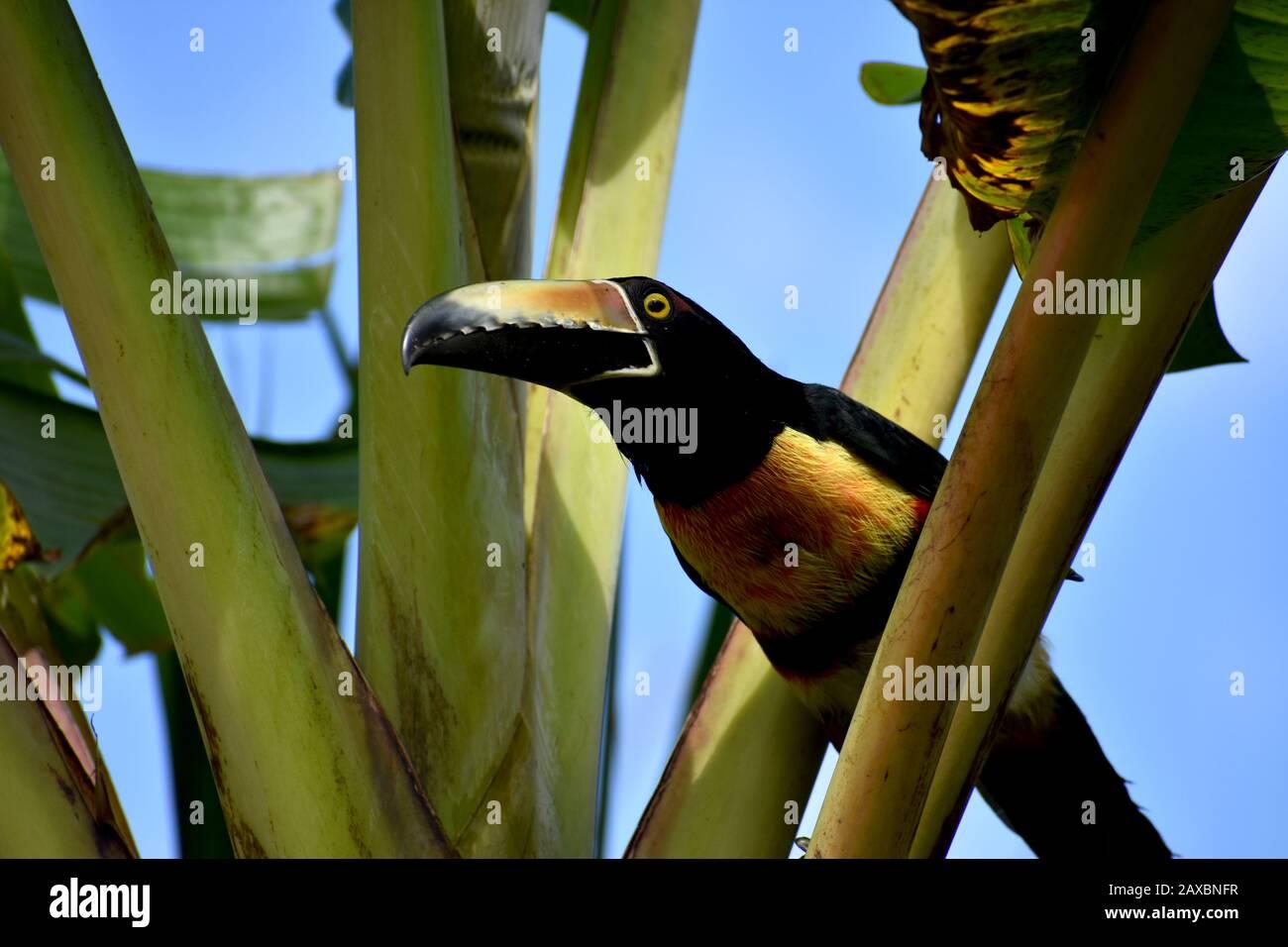 A collared aracari seen in Tenorio Volcano National Park, Costa Rica Stock Photo