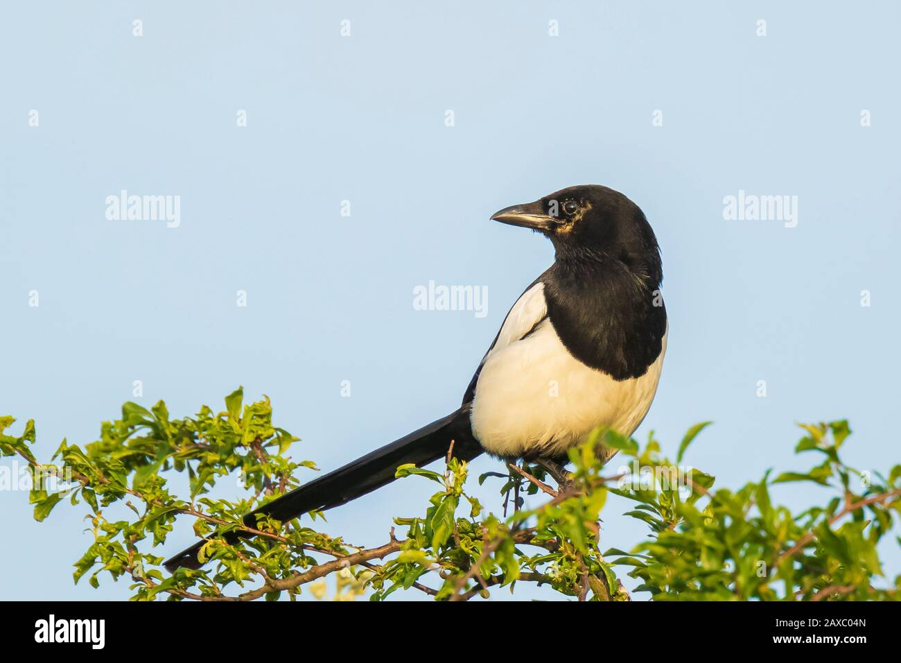 Eurasian magpie or common magpie Pica pica perched in a tree during a beautiful sunset Stock Photo