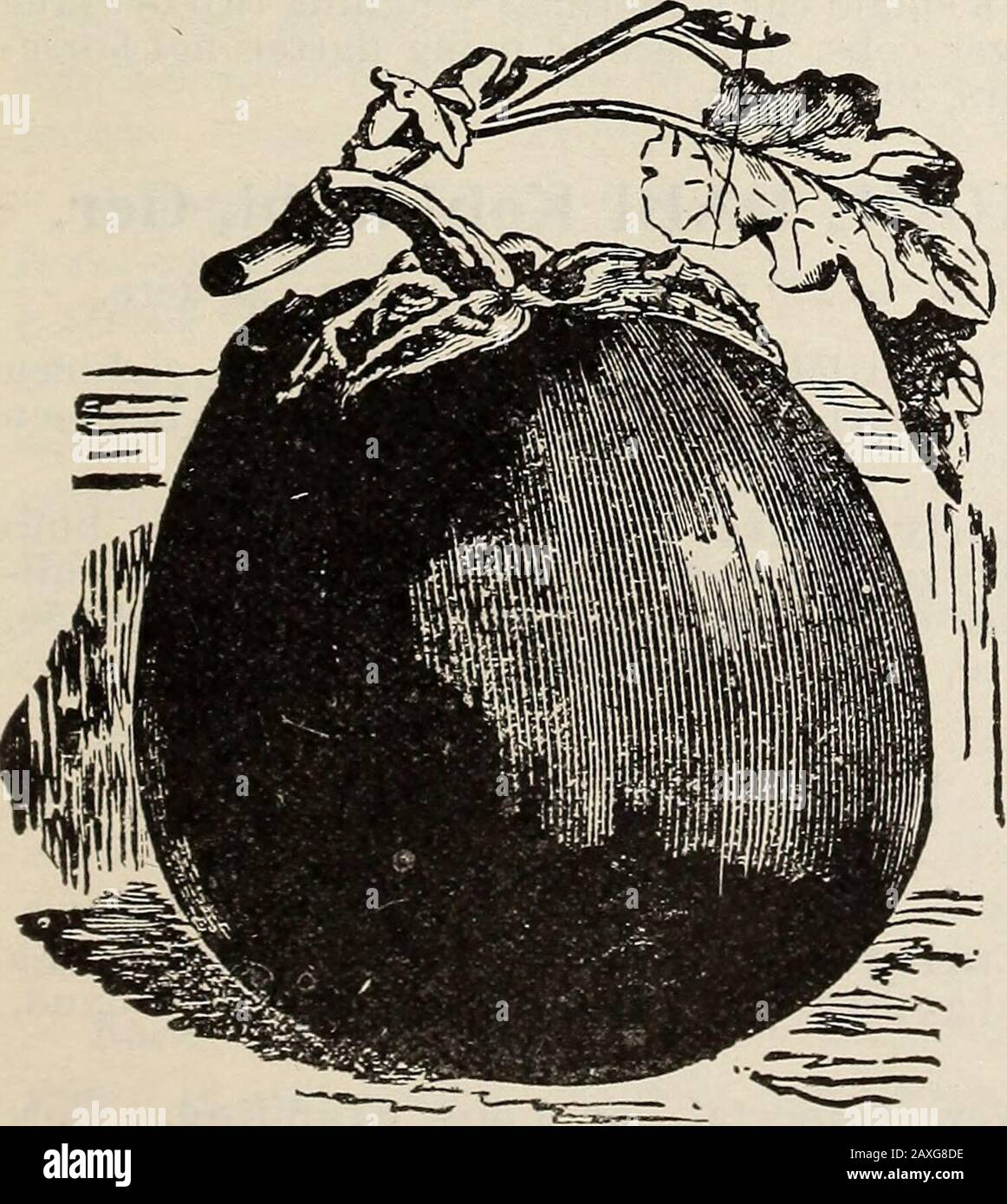 Mann's descriptive catalgoue : 1914 guide for the farm and garden . BLACK BEAUTY EGG PLANT EGG PLANT Eierfrucht, Ger. 1 oz. will produce 1,000 plants.Sow in March in hot-bed, and transplant when two incheshigh into a second hot-bed, or let them remain and thin out tofour inches apart. When the weather becomes settled, trans-plant into the open ground three feet apart each way. Goodculture is quite as important as good seed; work the ground deep;make it rich with well rotted manure and hoe often. New York Improved Spineless.—Best NewJersey gardeners selection. Oval shape, thorn-less, dark purpl Stock Photo